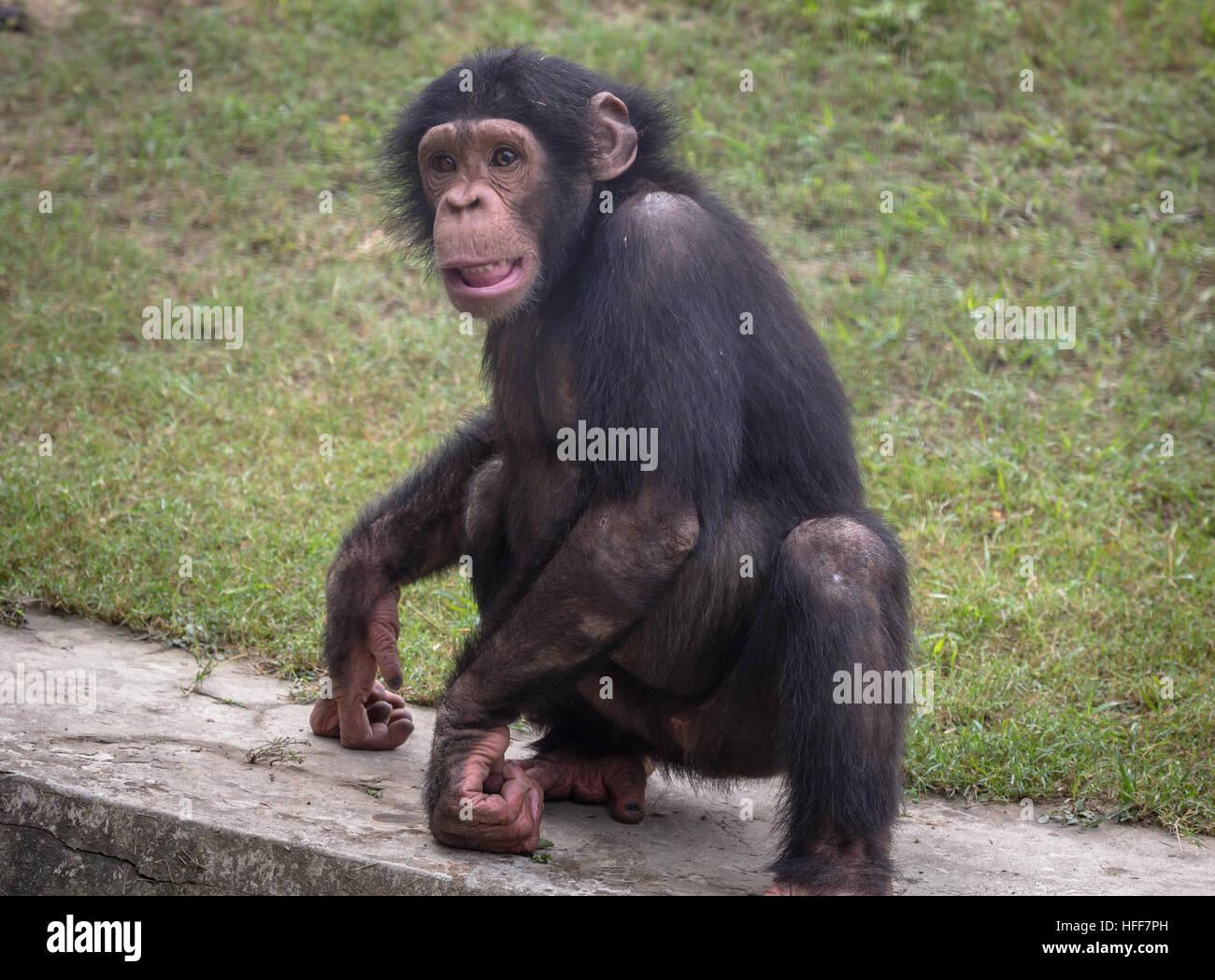 Chimpanzee animal at a zoo in Kolkata. Close up shot. - Stock Image