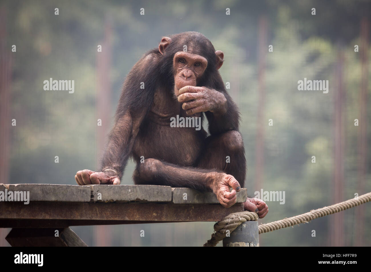 Baby Chimpanzee with a thoughtful expression at a zoo in Kolkata