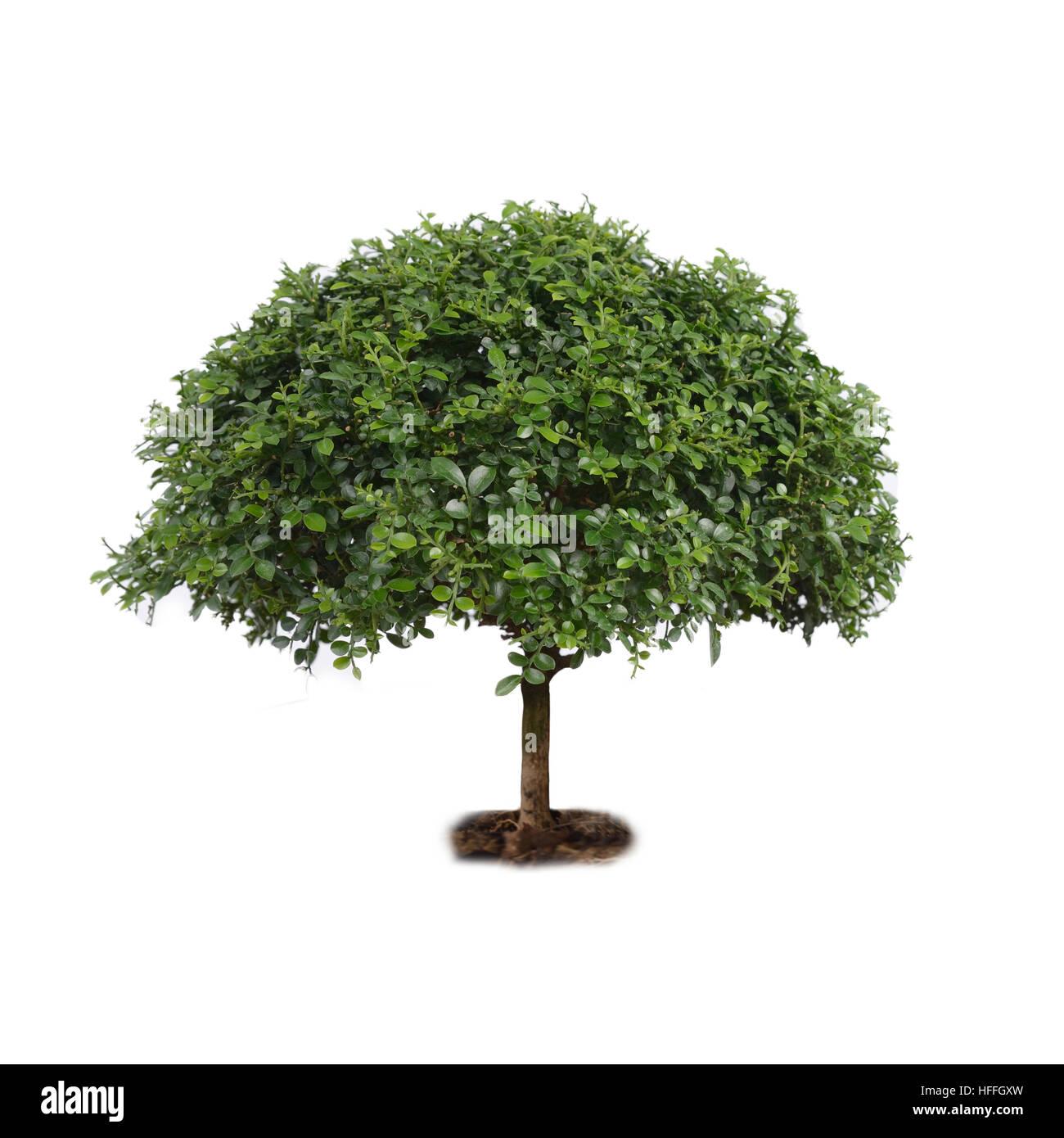 Isolate small tree, orange jessamine, on white background. - Stock Image