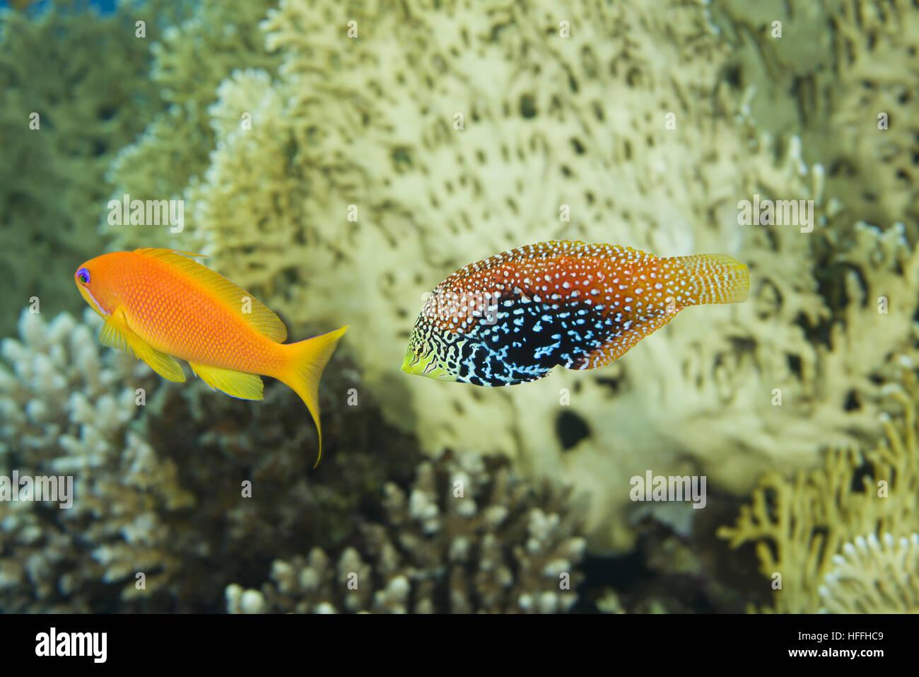 Vermiculate Wrasse or Diamond wrasse (Macropharyngodon bipartitus) and female Sea goldie or Lyretail coralfish (Pseudanthias - Stock Image