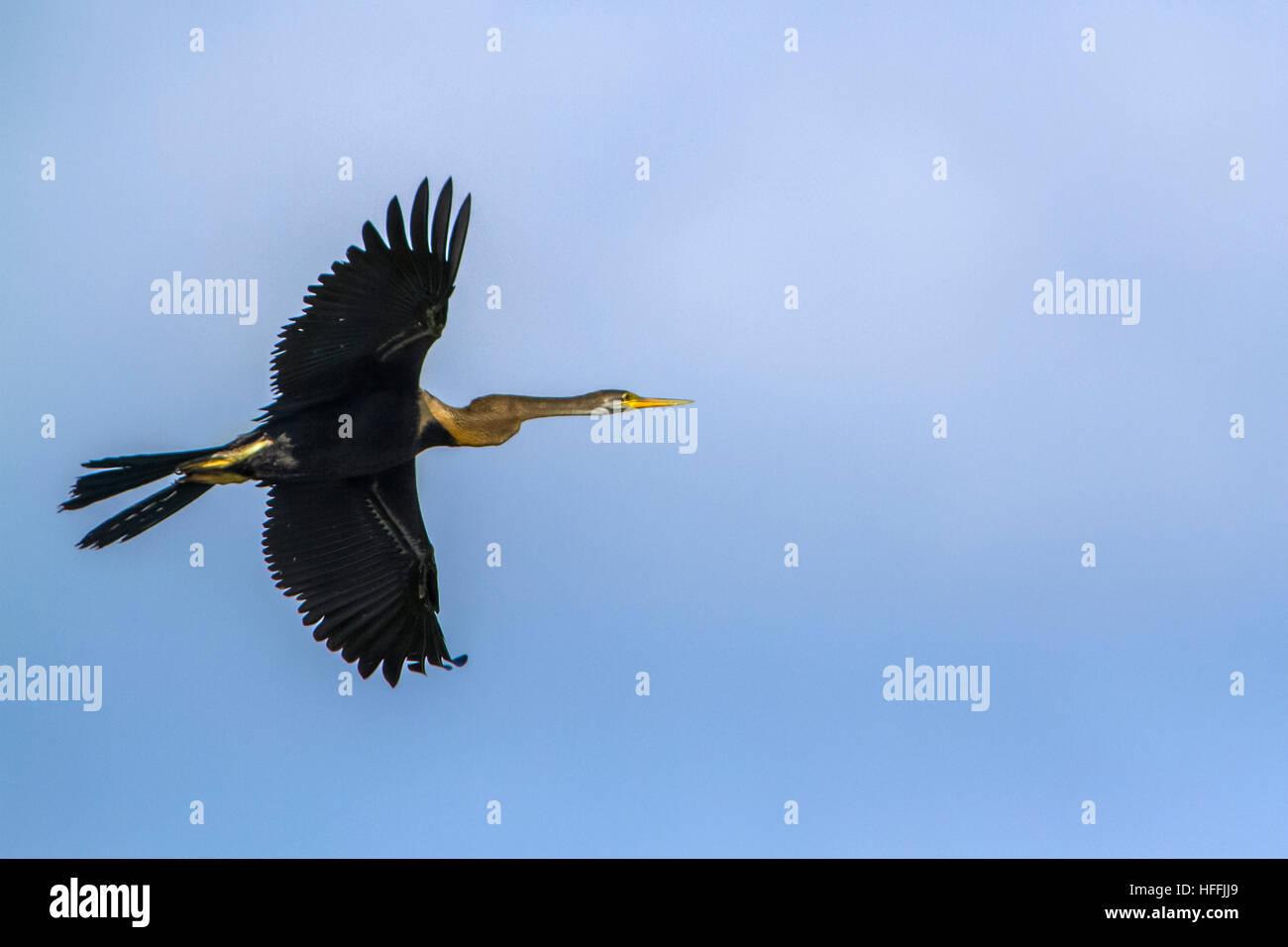 Oriental darter  flying isolated in blue sky ; specie Anhinga melanogaster  family of Anhingidae - Stock Image