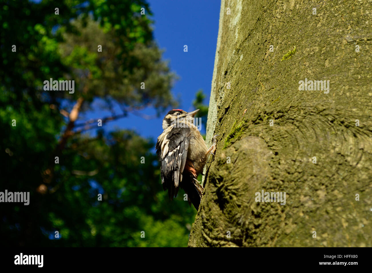 woodpecker tapping on a pine tree worms - Stock Image