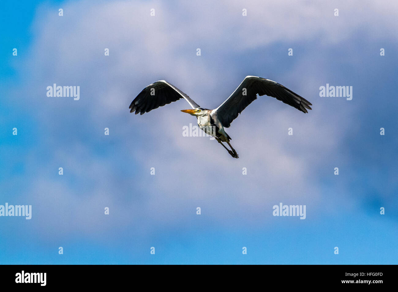 Grey heron flying isolated in blue sky ; specie Ardea cinerea  family of ardeidae - Stock Image