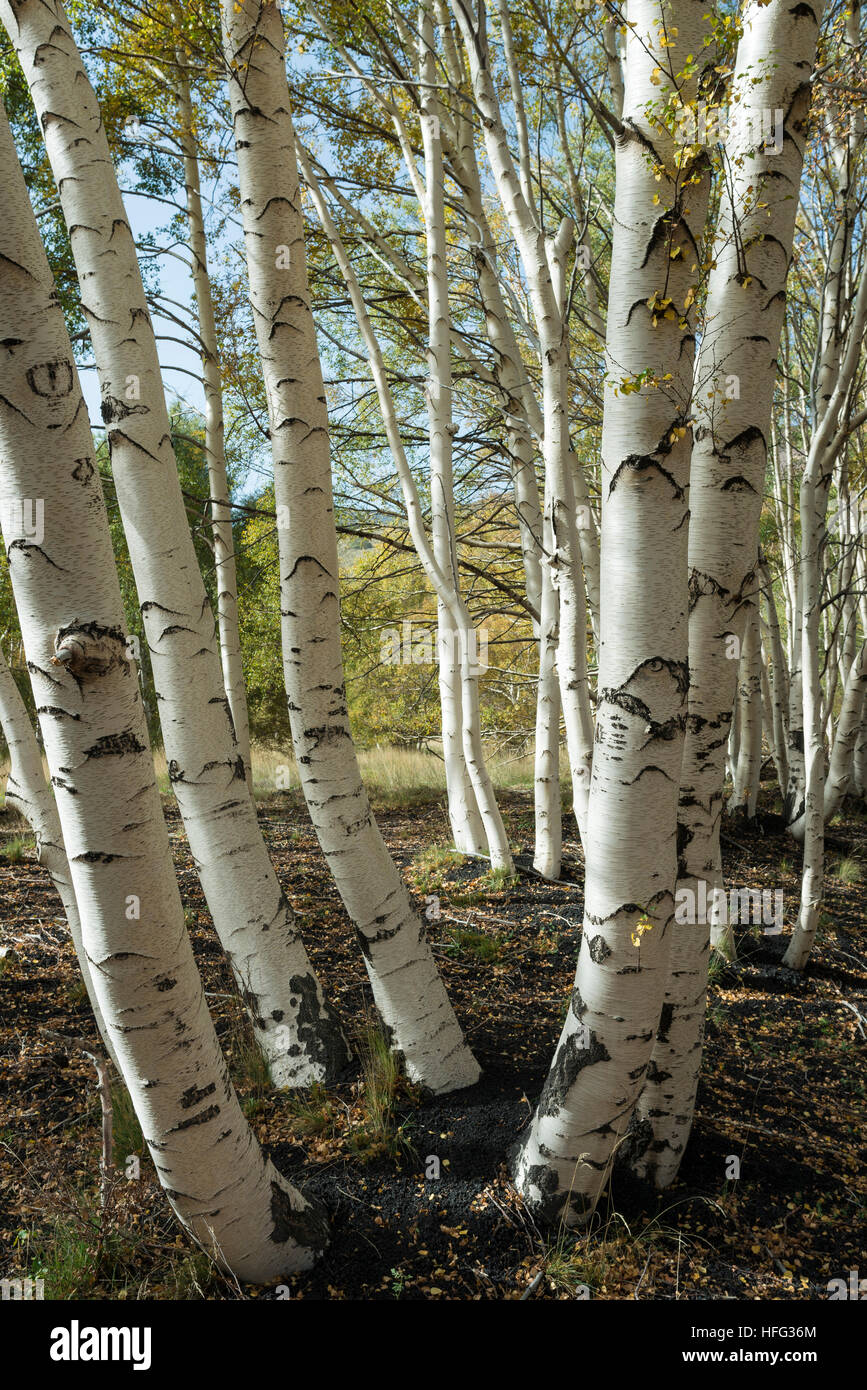 Endemic etna birch (Betula aetnensis) forest, lava fields from 1865, Monti Sartorius, northeast flank of Etna, Sicily - Stock Image