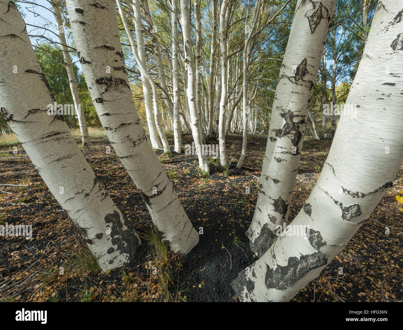 Endemic etna Birch (Betula aetnensis) forest, lava fields from 1865, Monti Sartorius, northeast flank of Mount Etna, - Stock Image