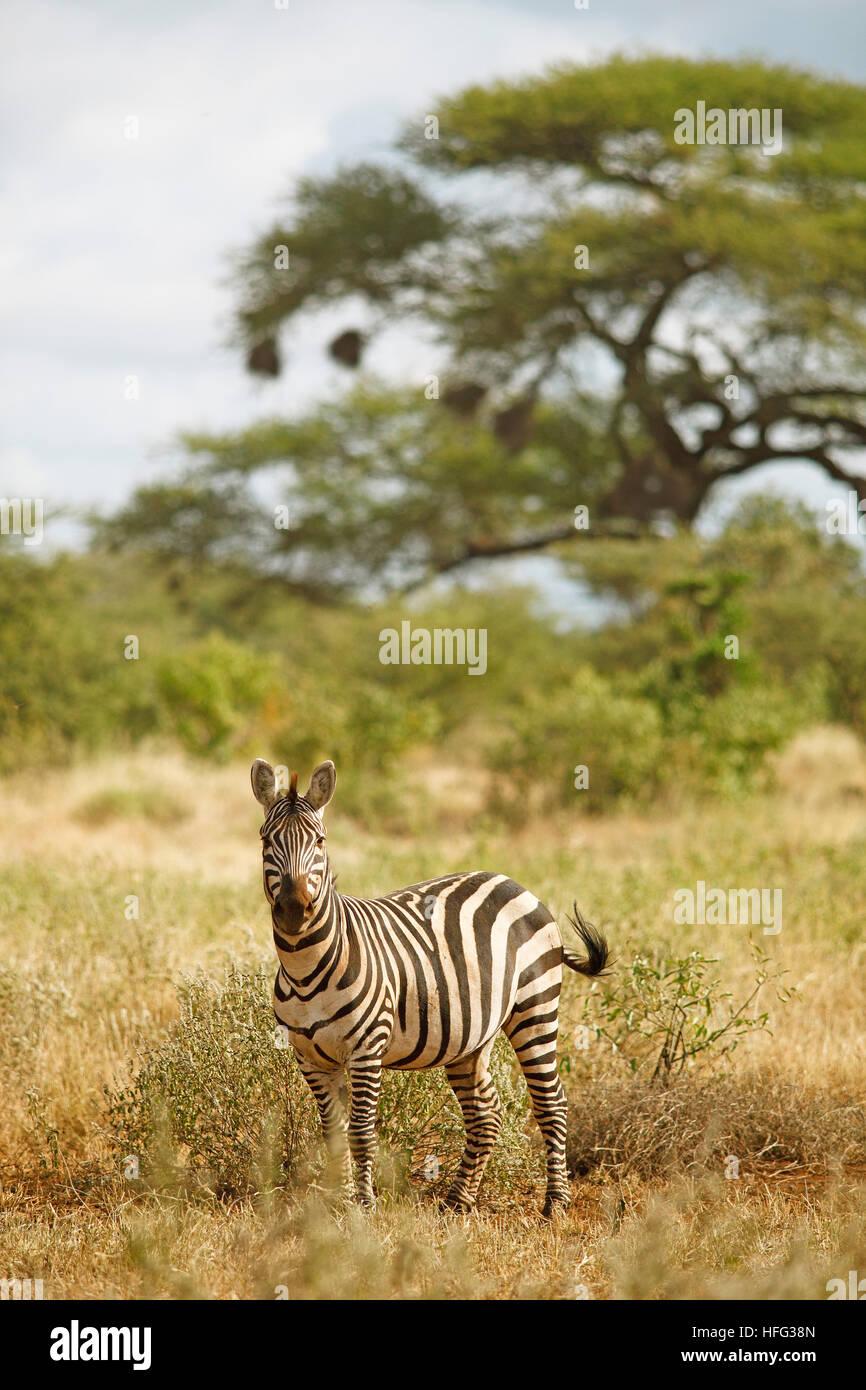 Plains Zebra (Equus quagga), acacias in the back, Tsavo West National Park, Taita-Taveta County, Kenya - Stock Image