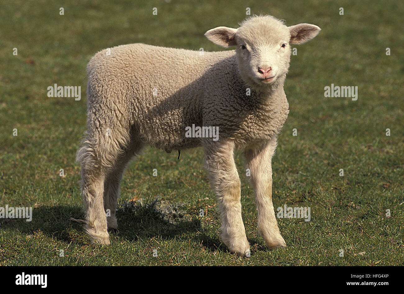 Ile de France Domestic Sheep, Lamb, a French Breed - Stock Image