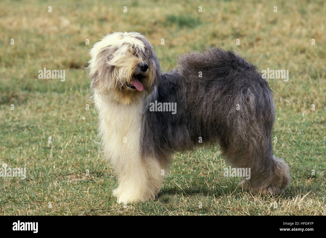 Bobtail Dog or Old English Sheepdog, Adult standing on Grass