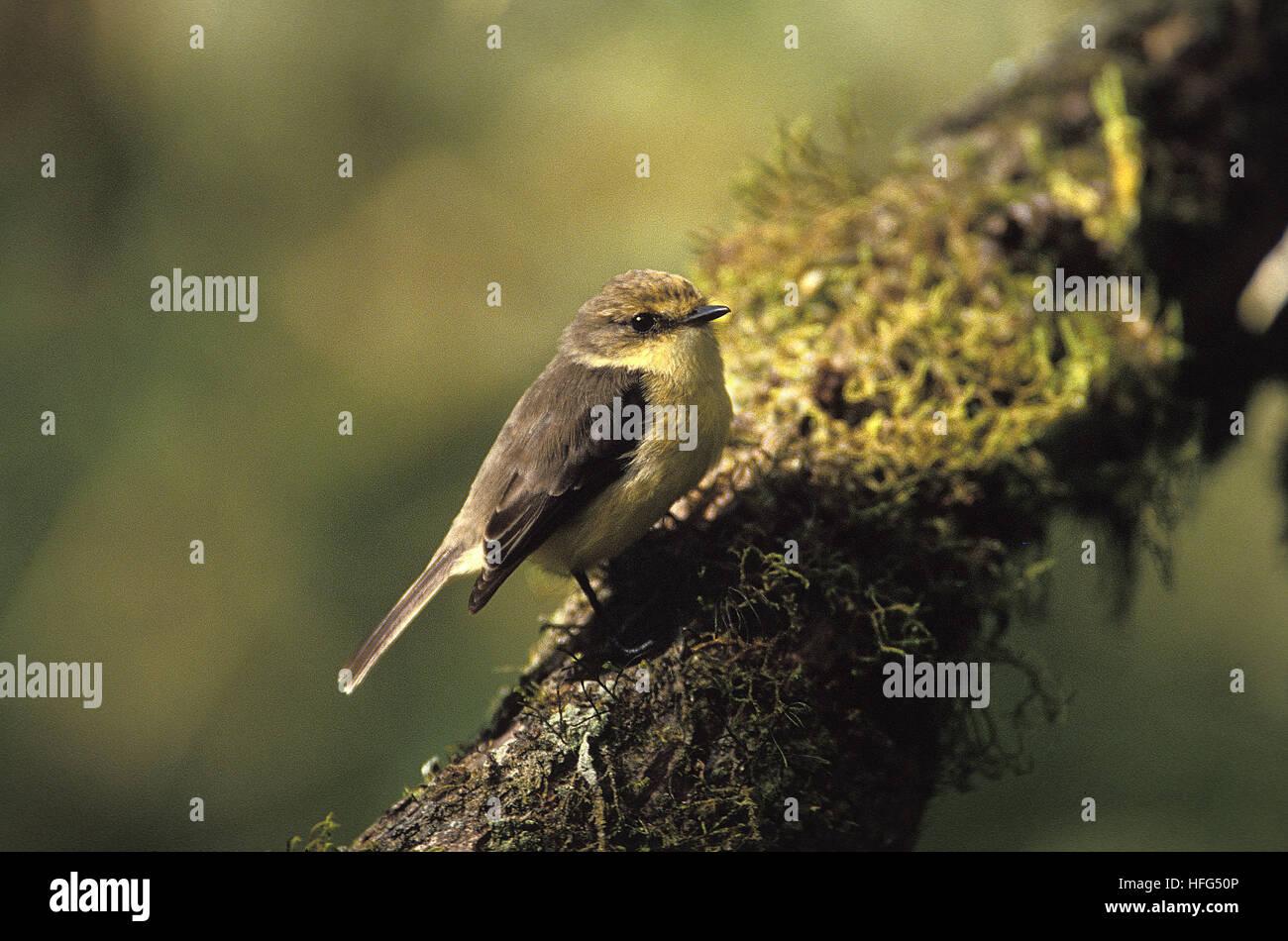 Vermilion Flycatcher,   pyrocephalus rubinus, Female, Galapagos Island - Stock Image