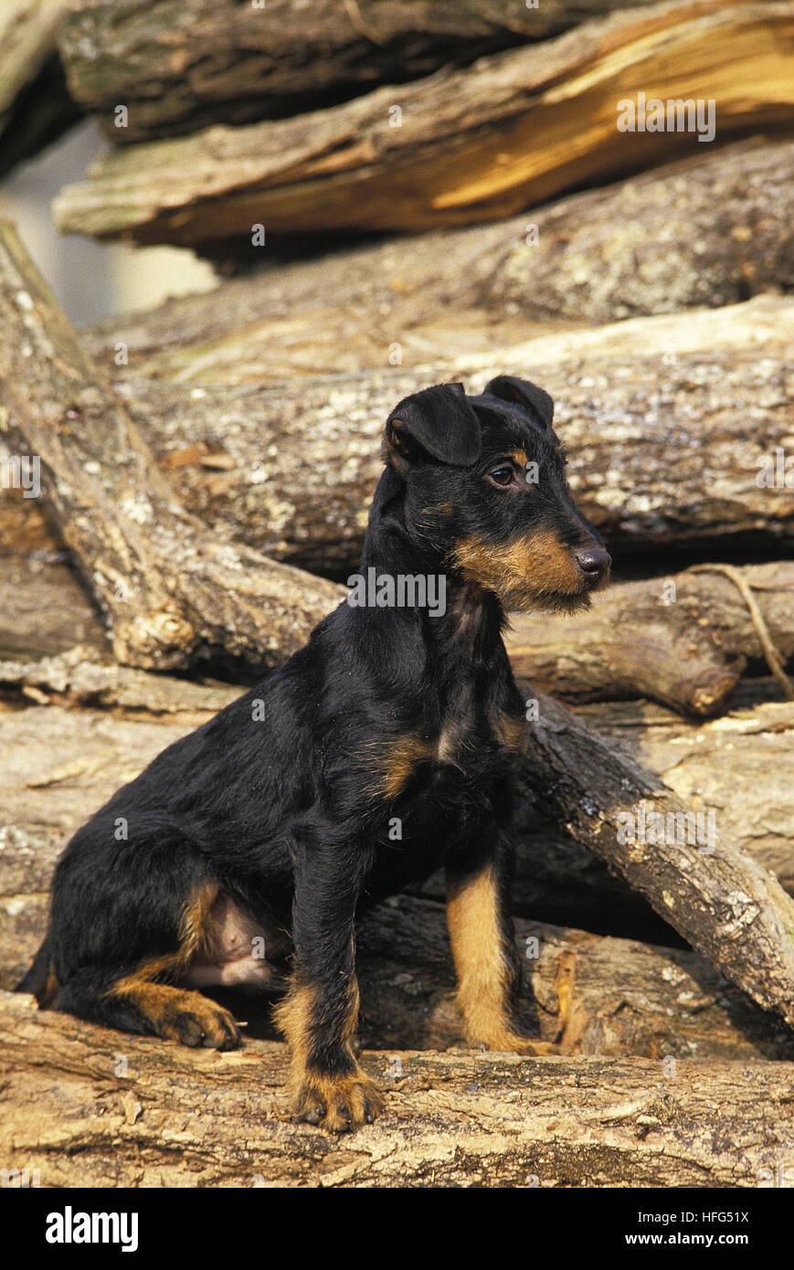 Jagd Terrier or German Hunting Terrier, Adult - Stock Image