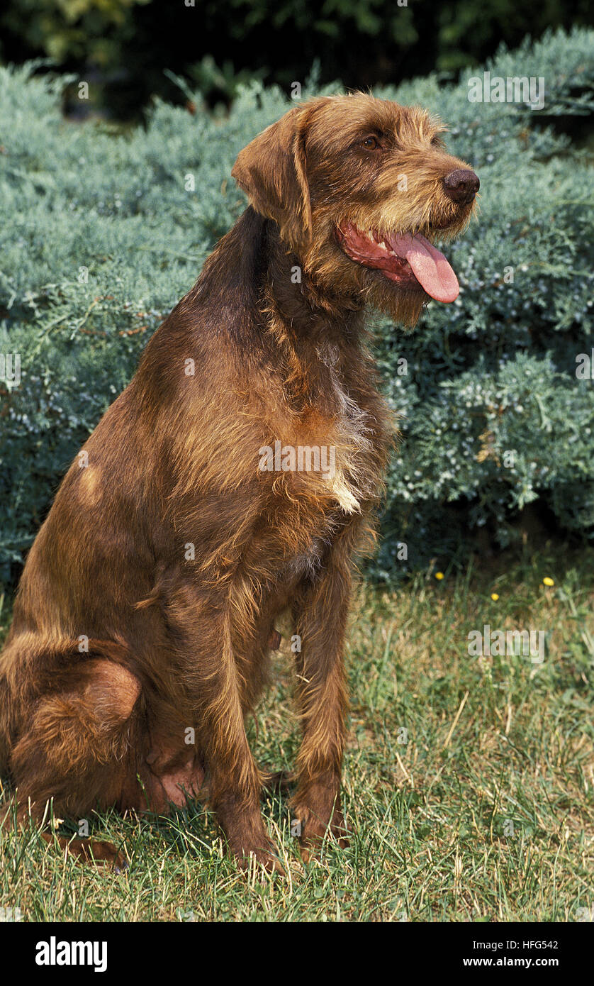 Pudel Pointer Dog, Adult sitting on Grass - Stock Image