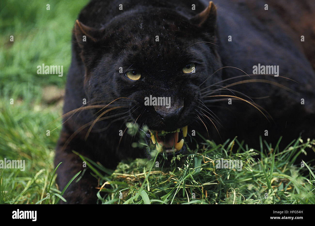 Black Panther,  panthera pardus, Adult snarling - Stock Image