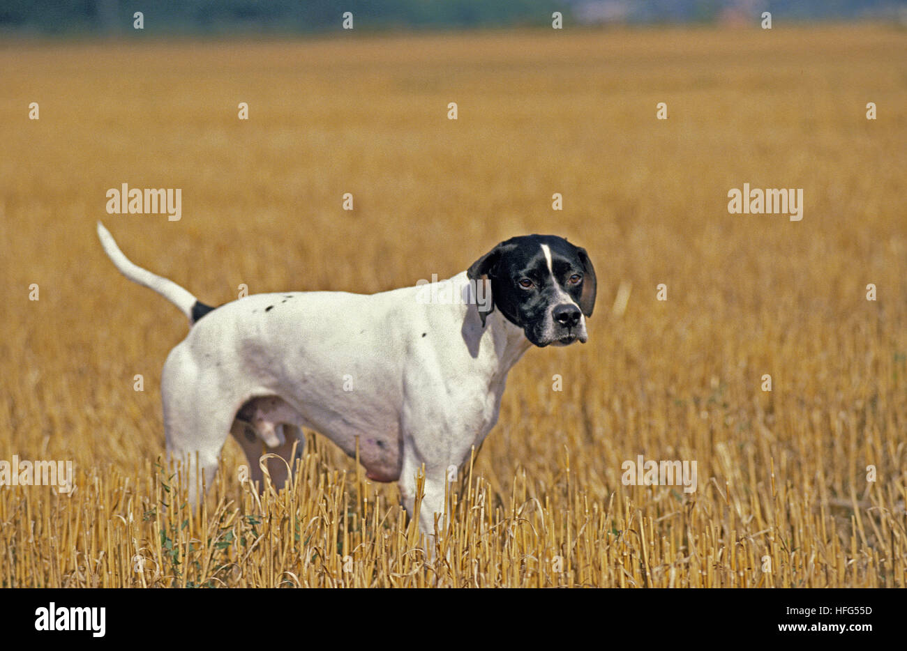 Pointer Dog, Male standing in Wheat's Field - Stock Image