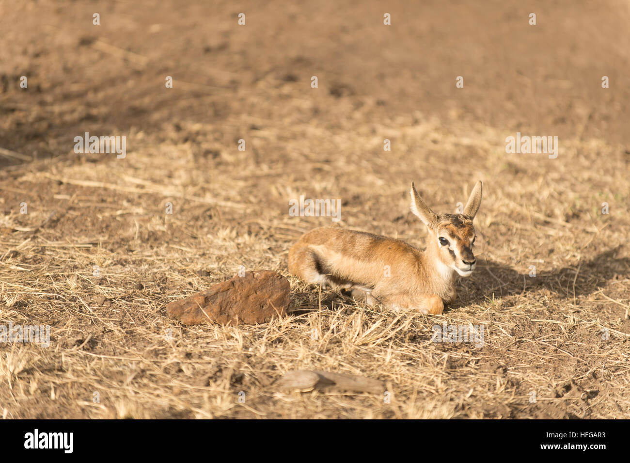 Baby Thomsons gazelle left alone by its mother to hide its presence from predators - Stock Image
