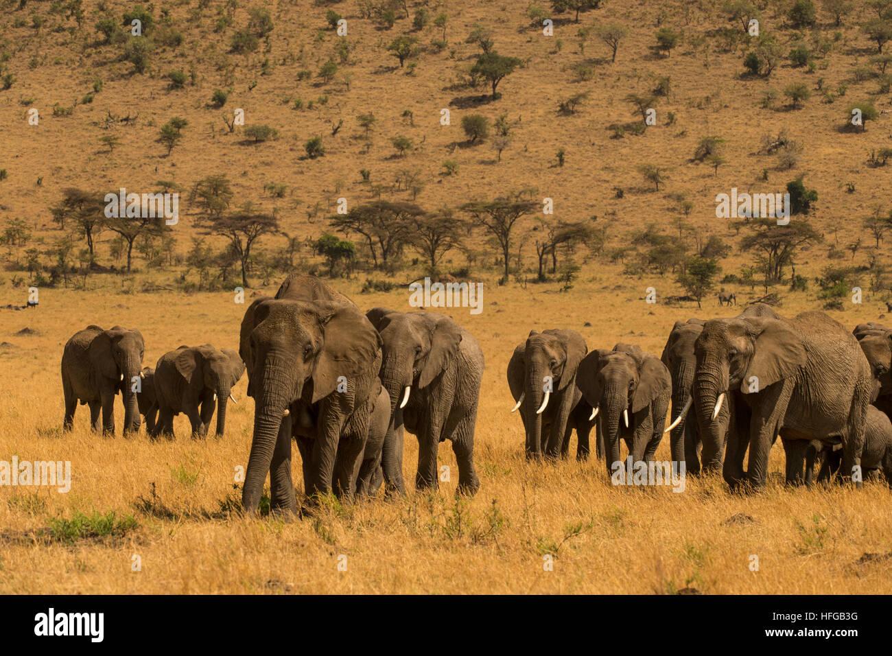Elephant herd walking with young - Stock Image