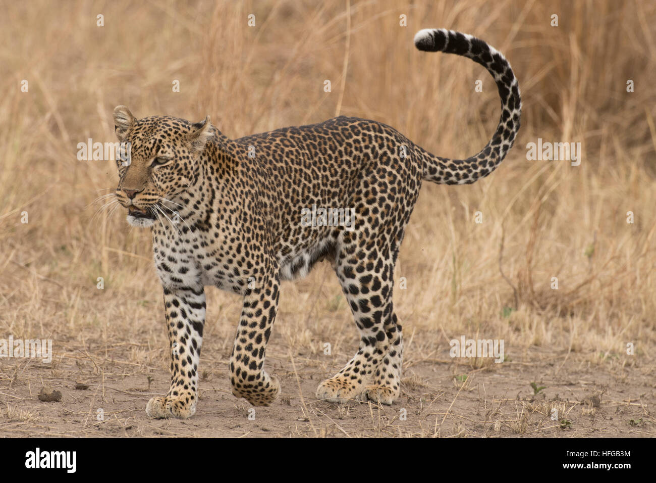 Leopard walking and looking ahead - Stock Image
