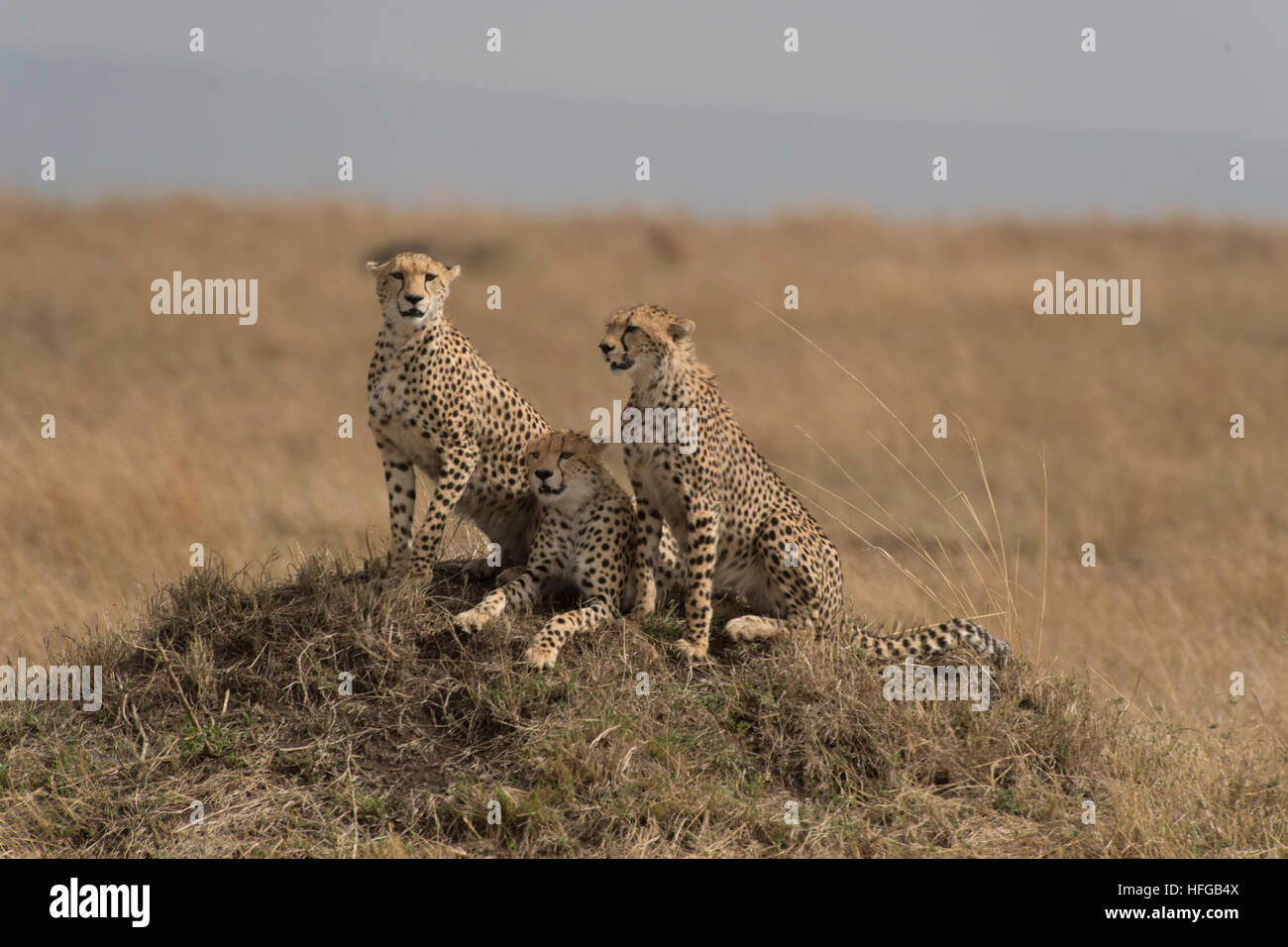 Cheetah mother and cubs sitting on termite mound Stock Photo