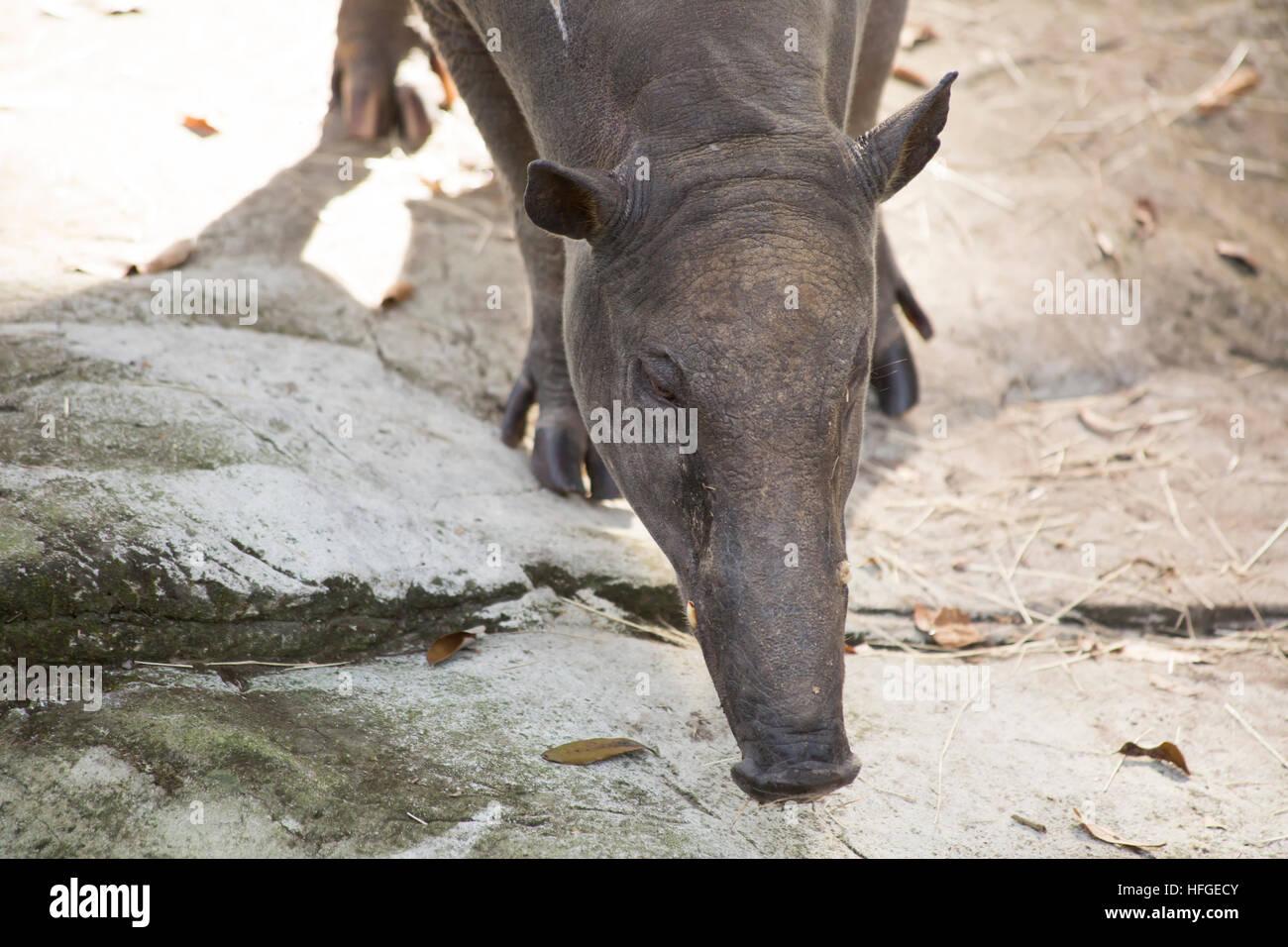 Close up of a babirusa (Buru babirusa), also called a deer-pig - Stock Image
