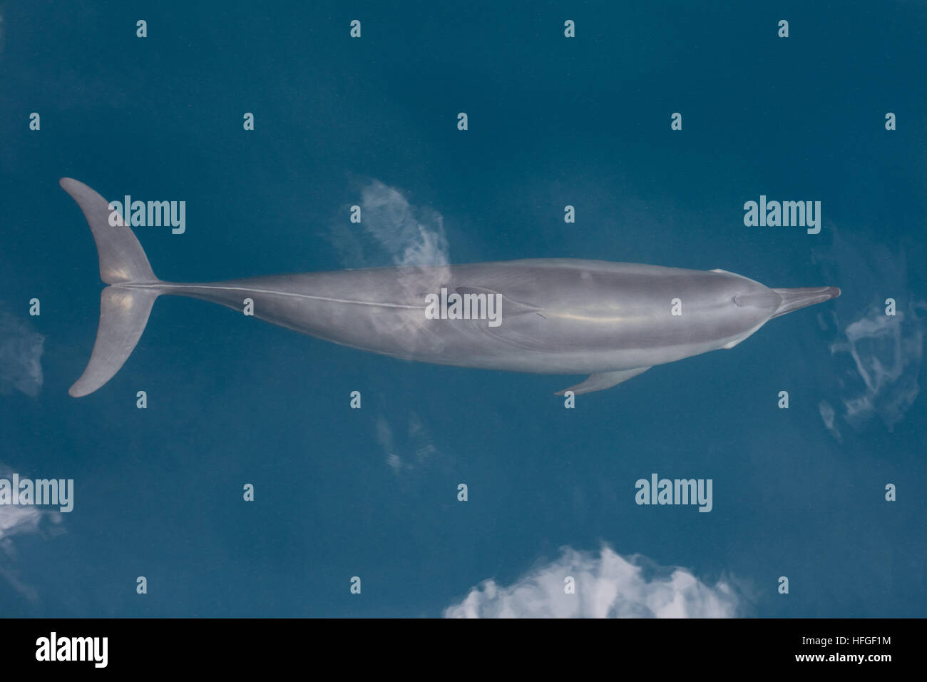 A Spinner dolphin (Stenella longirostris) cruises in the tropical Pacific Ocean. These cetaceans are known for their - Stock Image