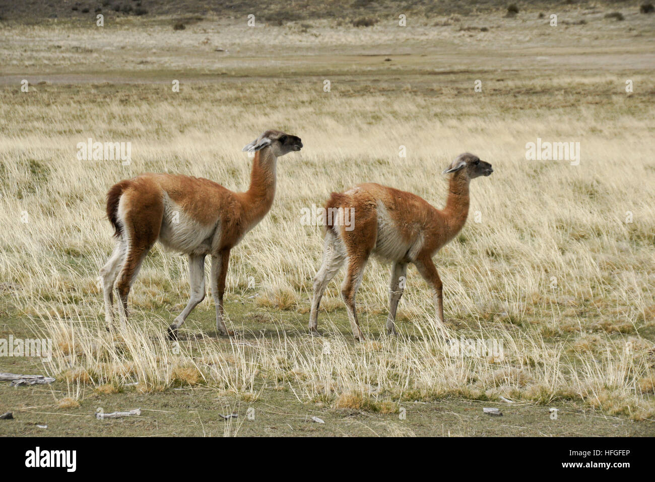 Male guanaco trying to mate with female, Torres del Paine NP, Patagonia, Chile - Stock Image