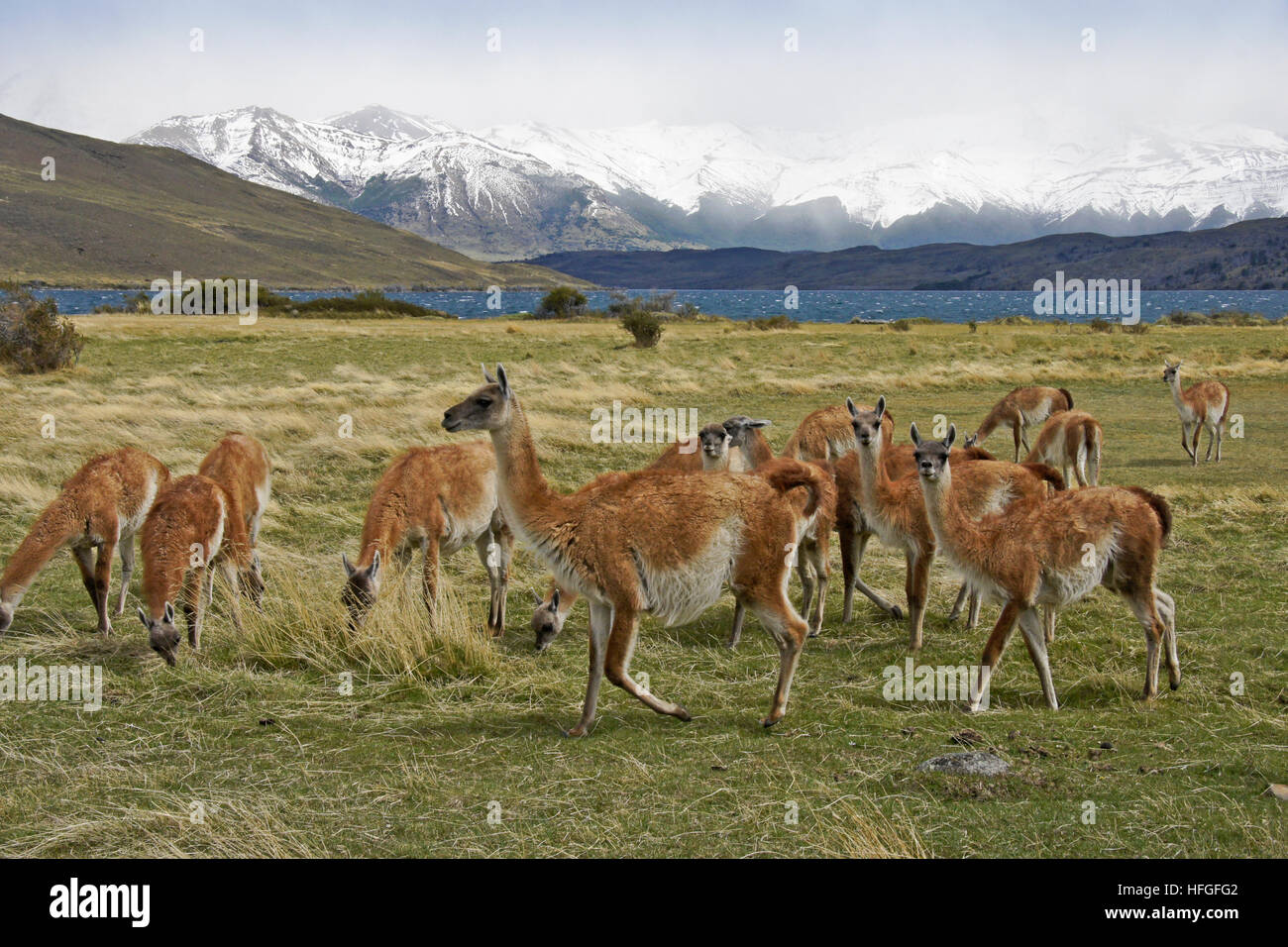 Guanacos grazing in a meadow near Laguna Azul, Torres del Paine NP, Patagonia, Chile - Stock Image