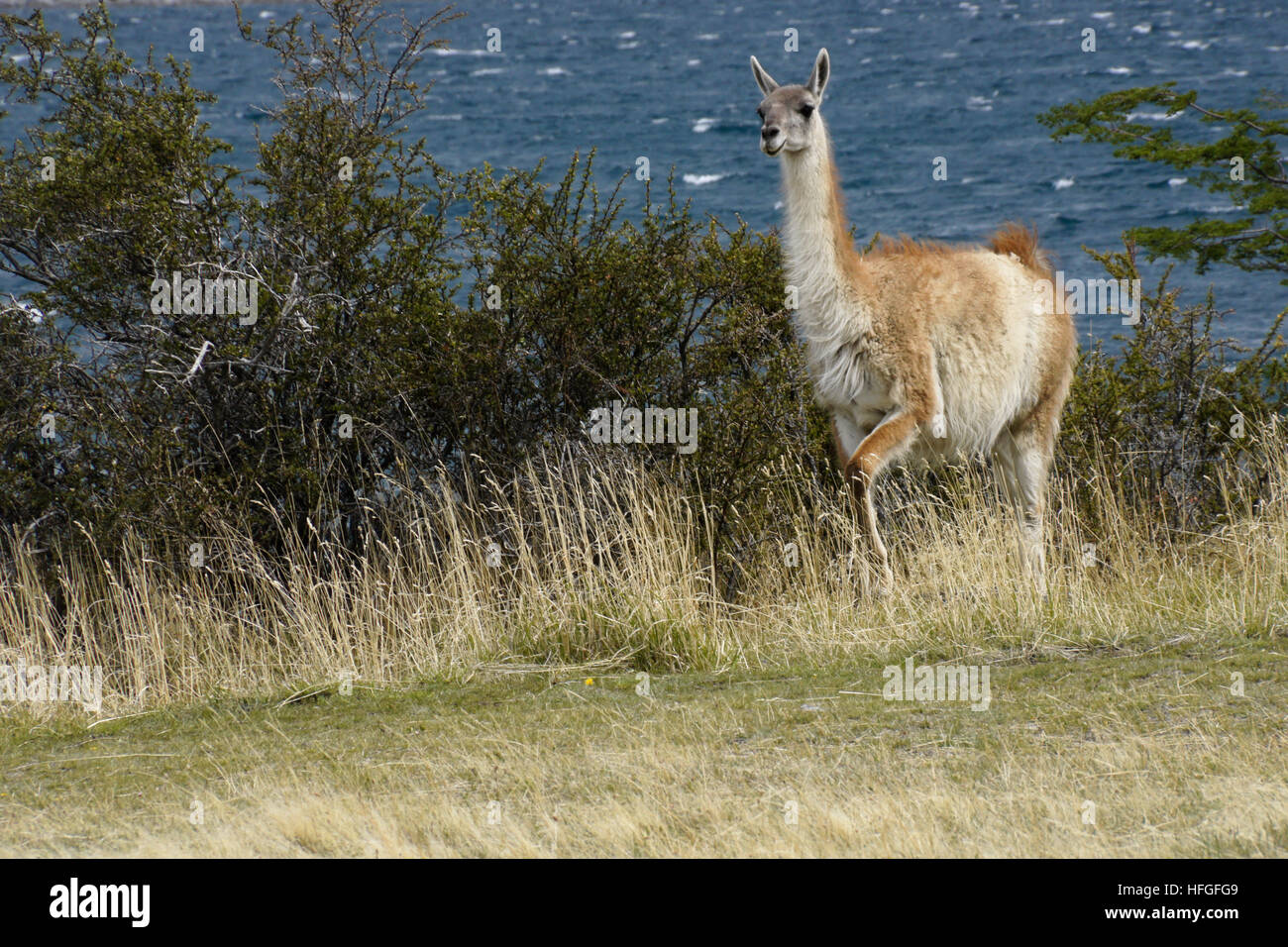 Guanaco near Laguna Azul, Torres del Paine NP, Patagonia, Chile - Stock Image