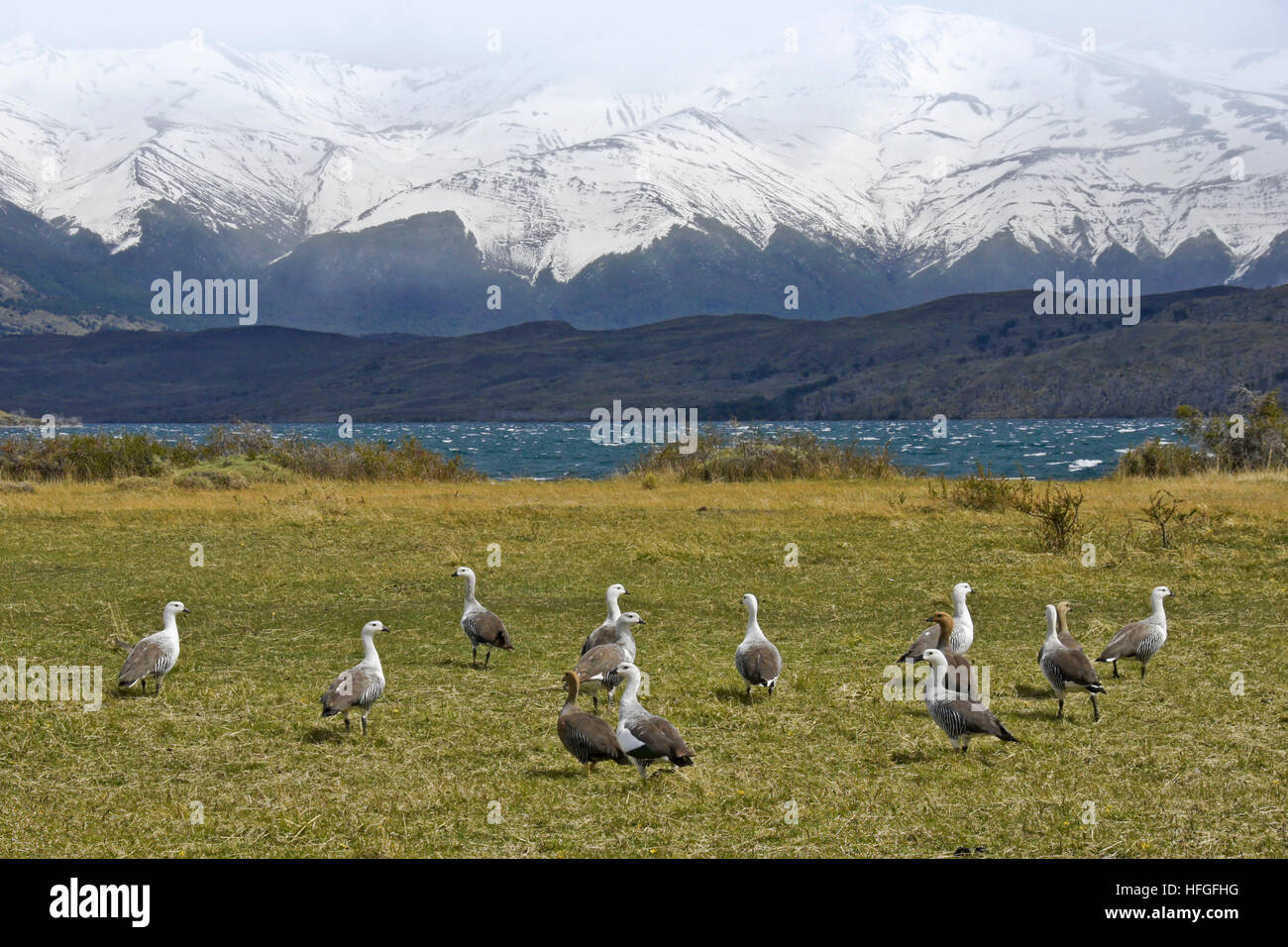 Magellan (upland) geese at Laguna Azul, Torres del Paine NP, Patagonia, Chile - Stock Image