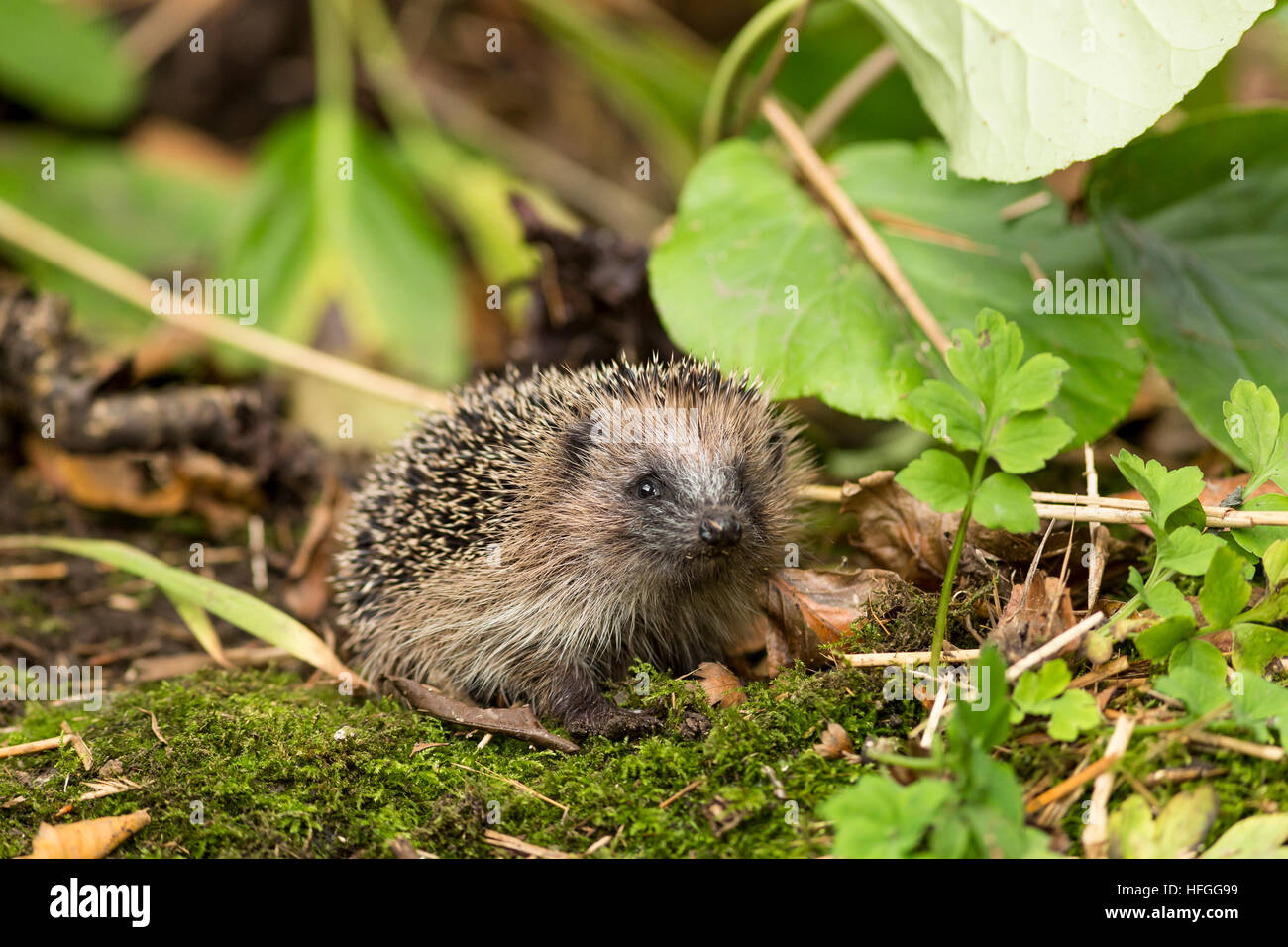 juvenile hedgehog in autumn garden amongst moss and leaves - Stock Image