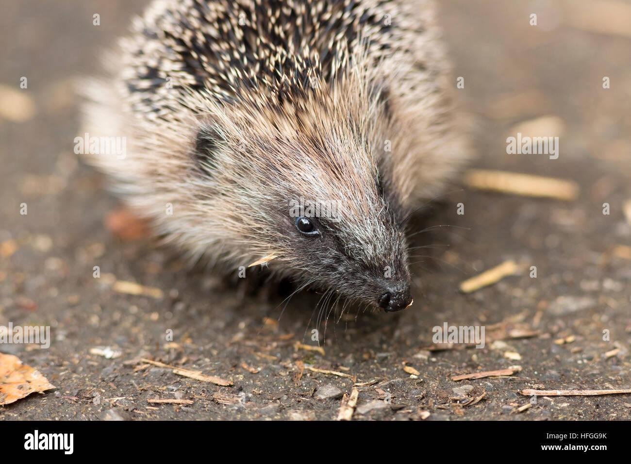 juvenile hedgehog close up - Stock Image