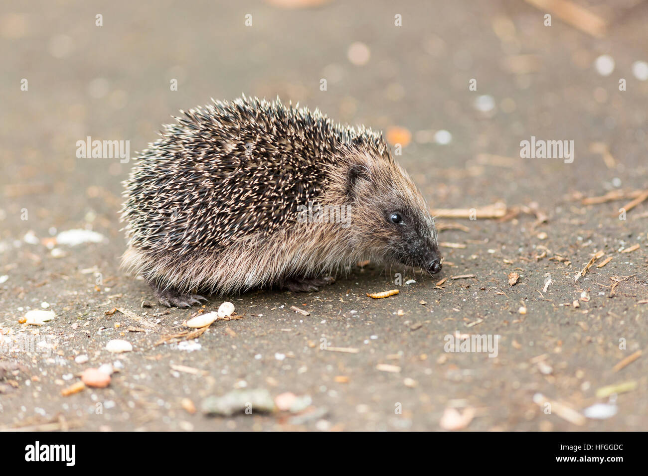 juvenile hedgehog eating bird food - Stock Image
