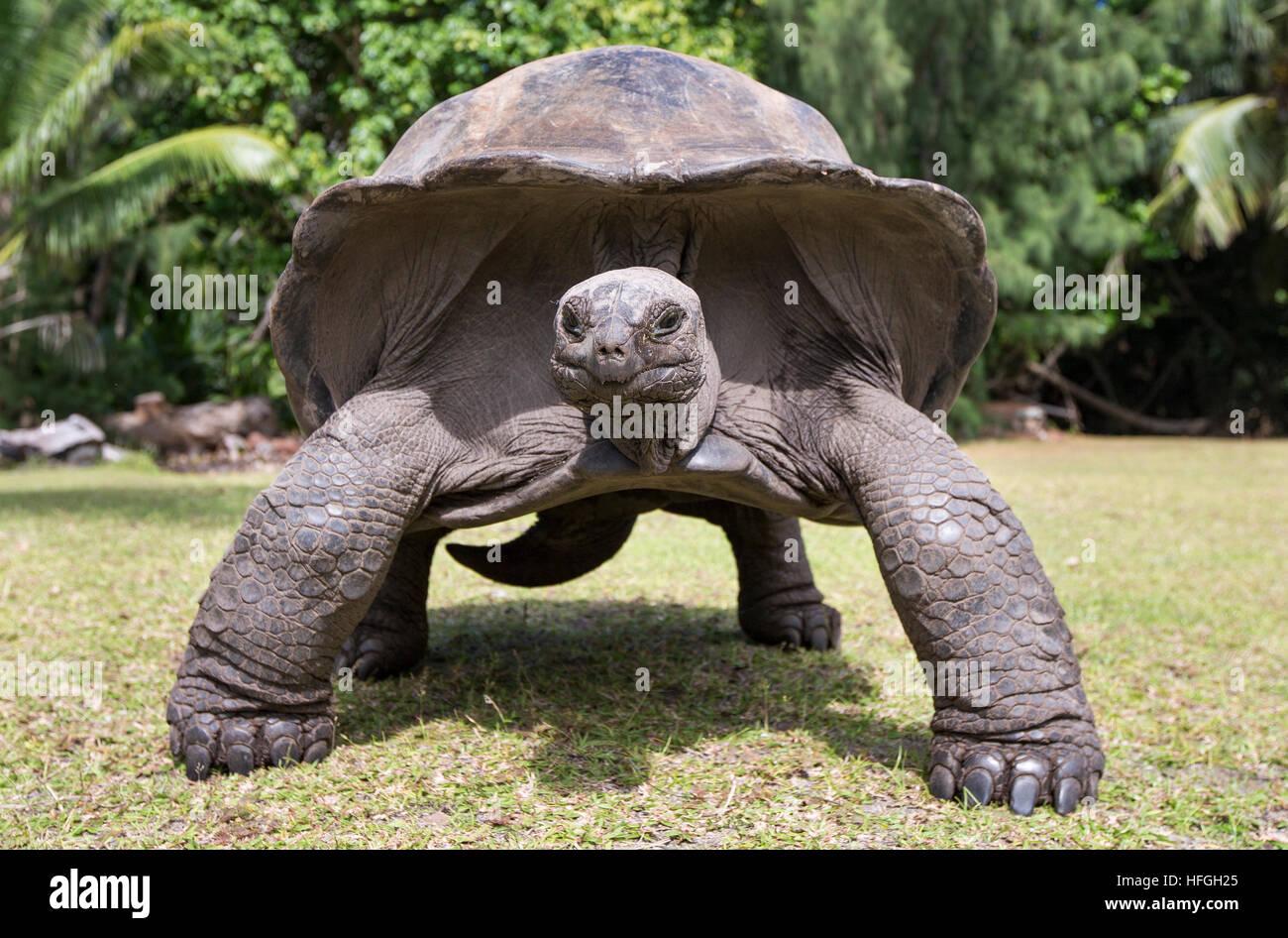 Aldabra Giant Tortoise  at tropical island in Seychelles - Stock Image