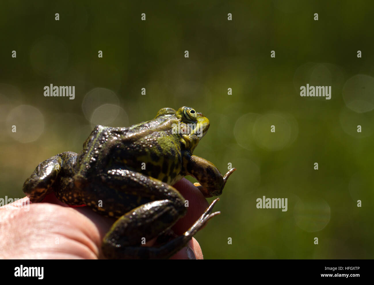 Green frog held by a herpetologist - Stock Image