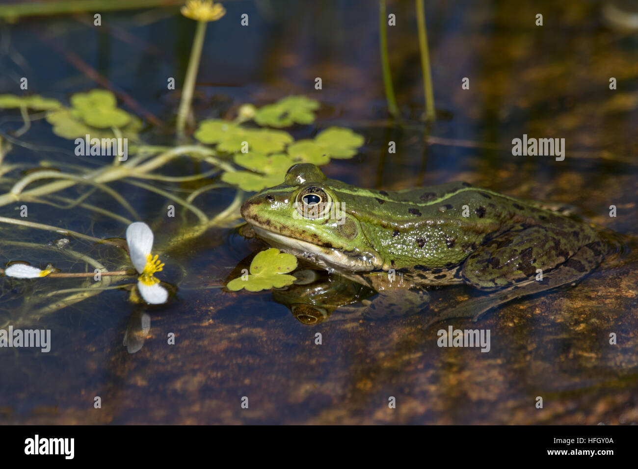 Green frog in the pond, Rana Esculenta, edible frog, is sitting in water between brown and green straws. - Stock Image