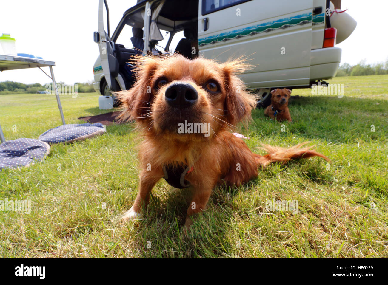 17a9cb9d70ea7e Dogs in front of a VW T4 camper van at a campsite in Oxfordshire - Stock