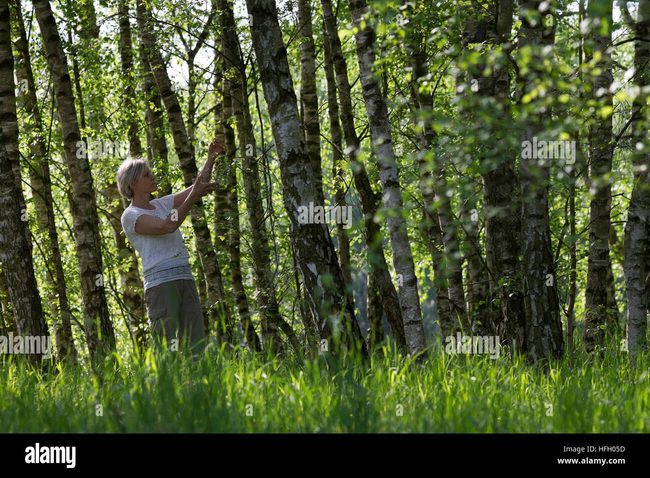 Birkenblätter-Ernte, Frau erntet Blätter von Birke, Birkenblatternte, Birkenblatternte, Birke, Hänge-Birke, Sand Stock Photo