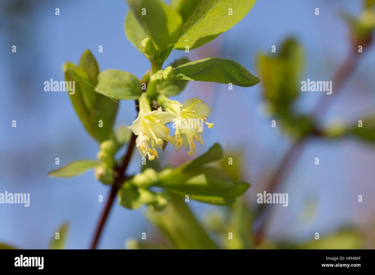 Blaue Heckenkirsche, Blaue Doppelbeere, Lonicera caerulea, Blue-berried Honeysuckle, Sweetberry Honeysuckle - Stock Image