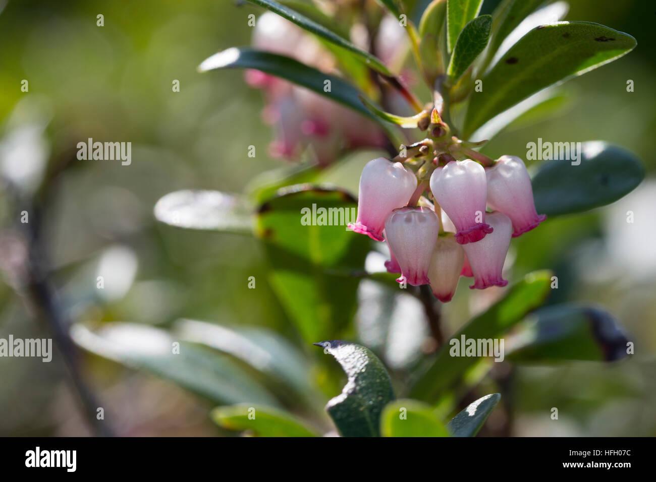 Echte Bärentraube, Immergrüne Bärentraube, Arctostaphylos uva-ursi, kinnikinnick, pinemat manzanita, - Stock Image