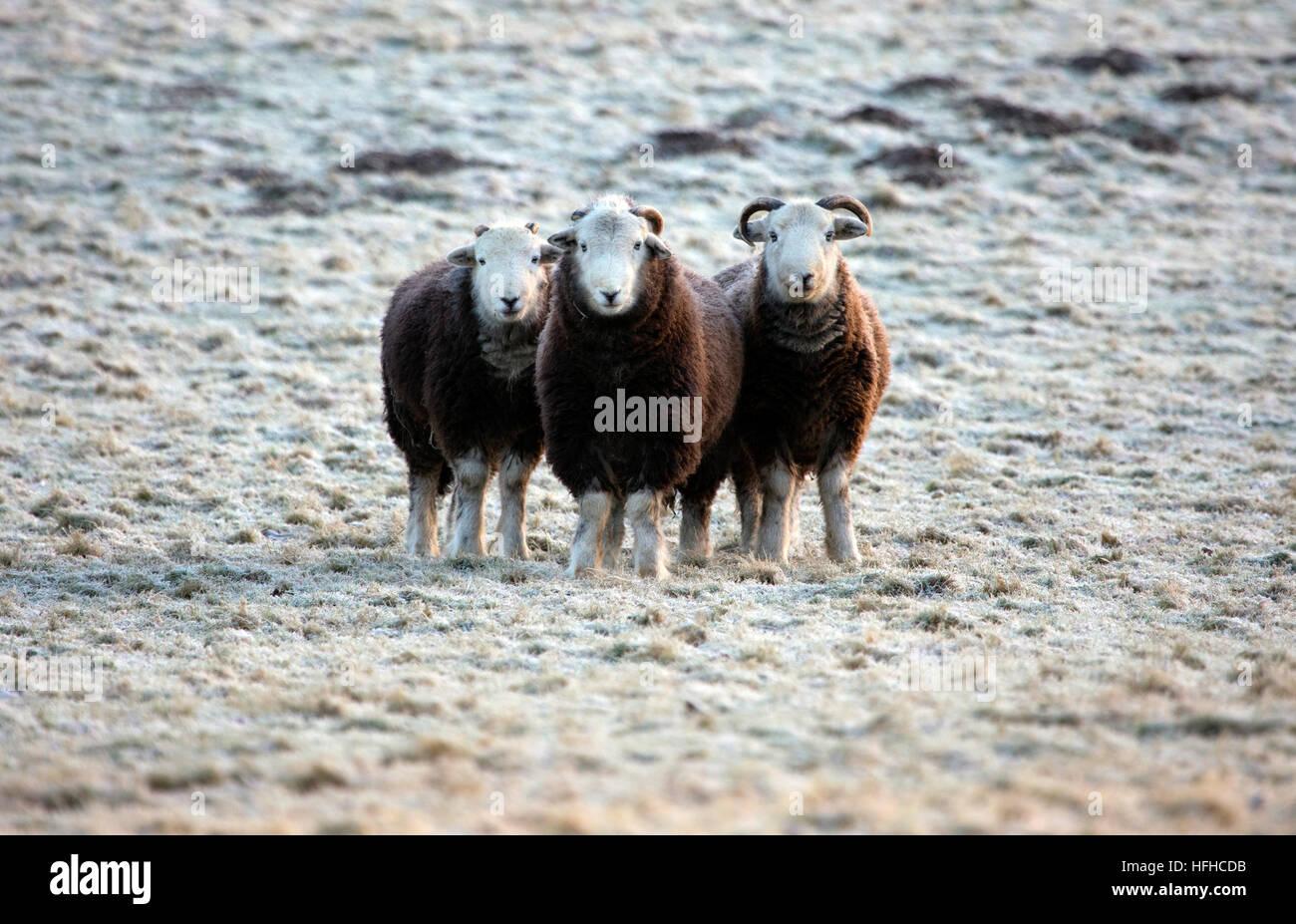 Herdwick sheep ewe braving freezing temperatures in Flintshire, North Wales - Stock Image