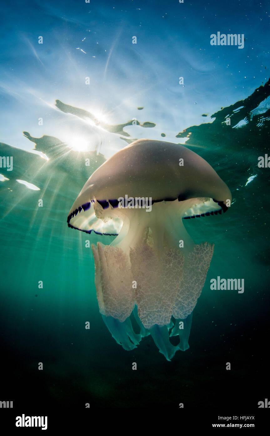 Jellyfish, Rhizostoma pulmo, in Mediterranean Sea, Comarruga, Costa Daurada, Spain - Stock Image