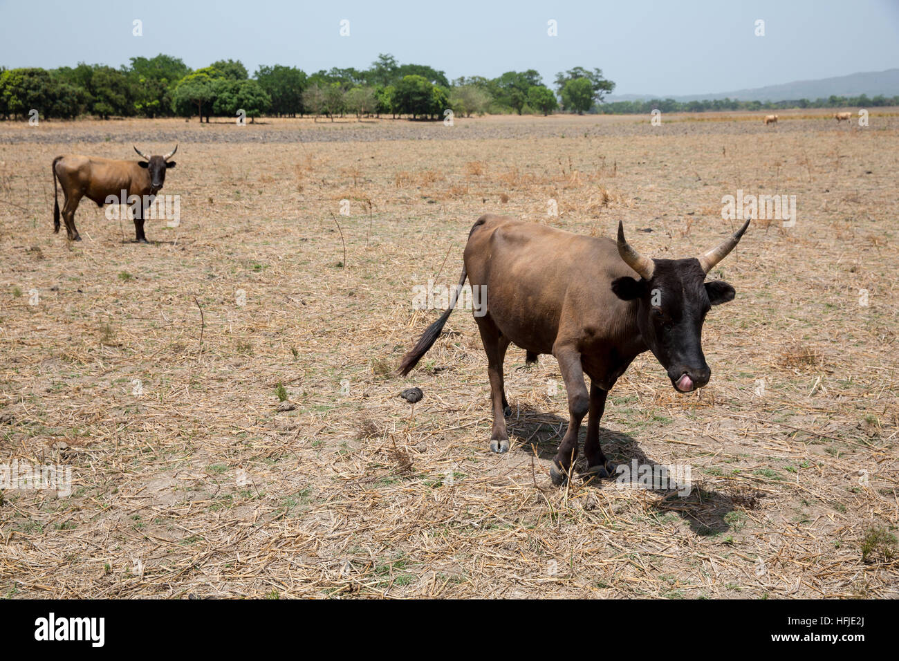 Baro village, Guinea, 1st May 2015: Cattle grazing on agricultural land before the rains begin. Stock Photo