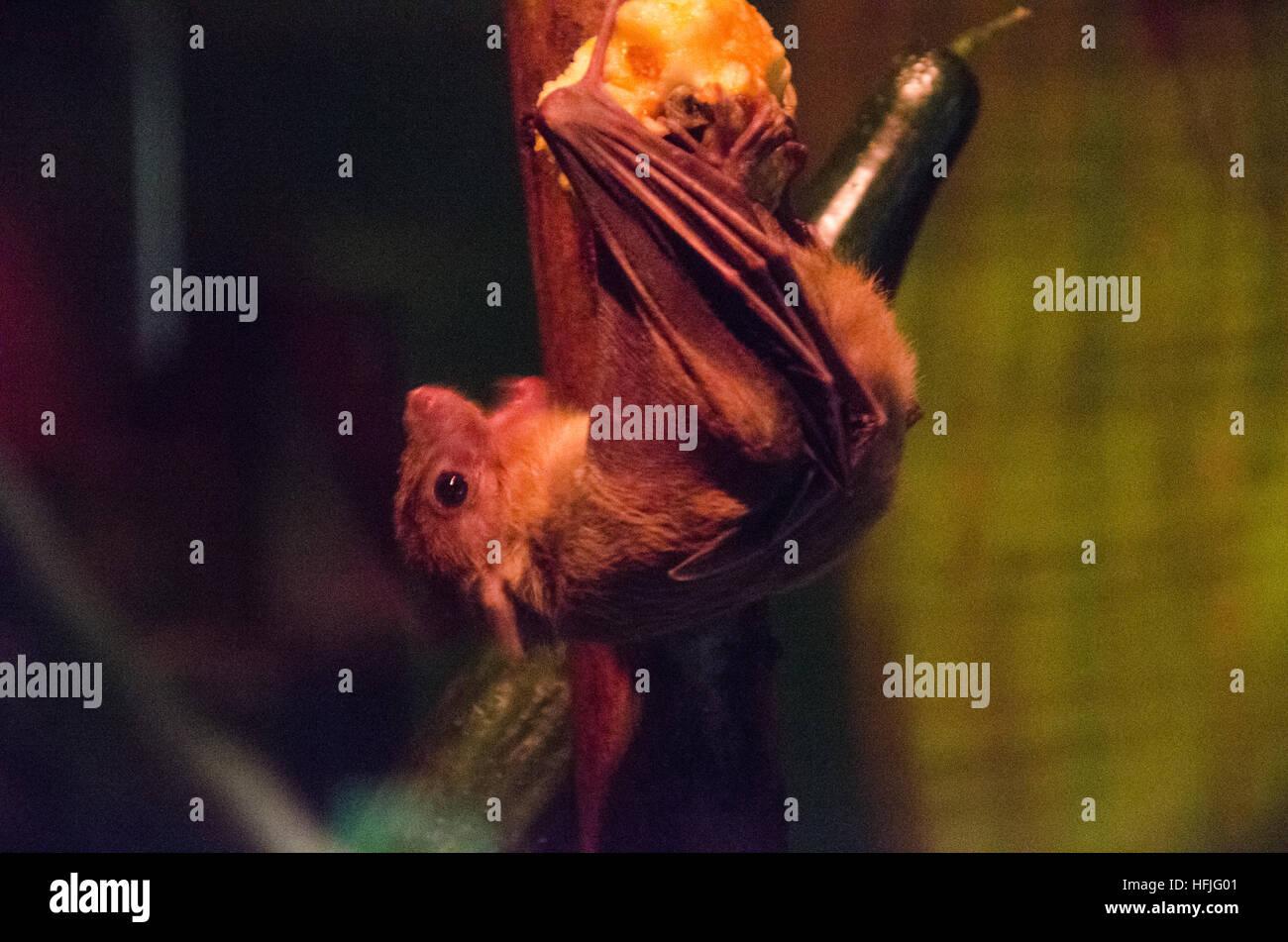 Bat feeding on an apple - Stock Image