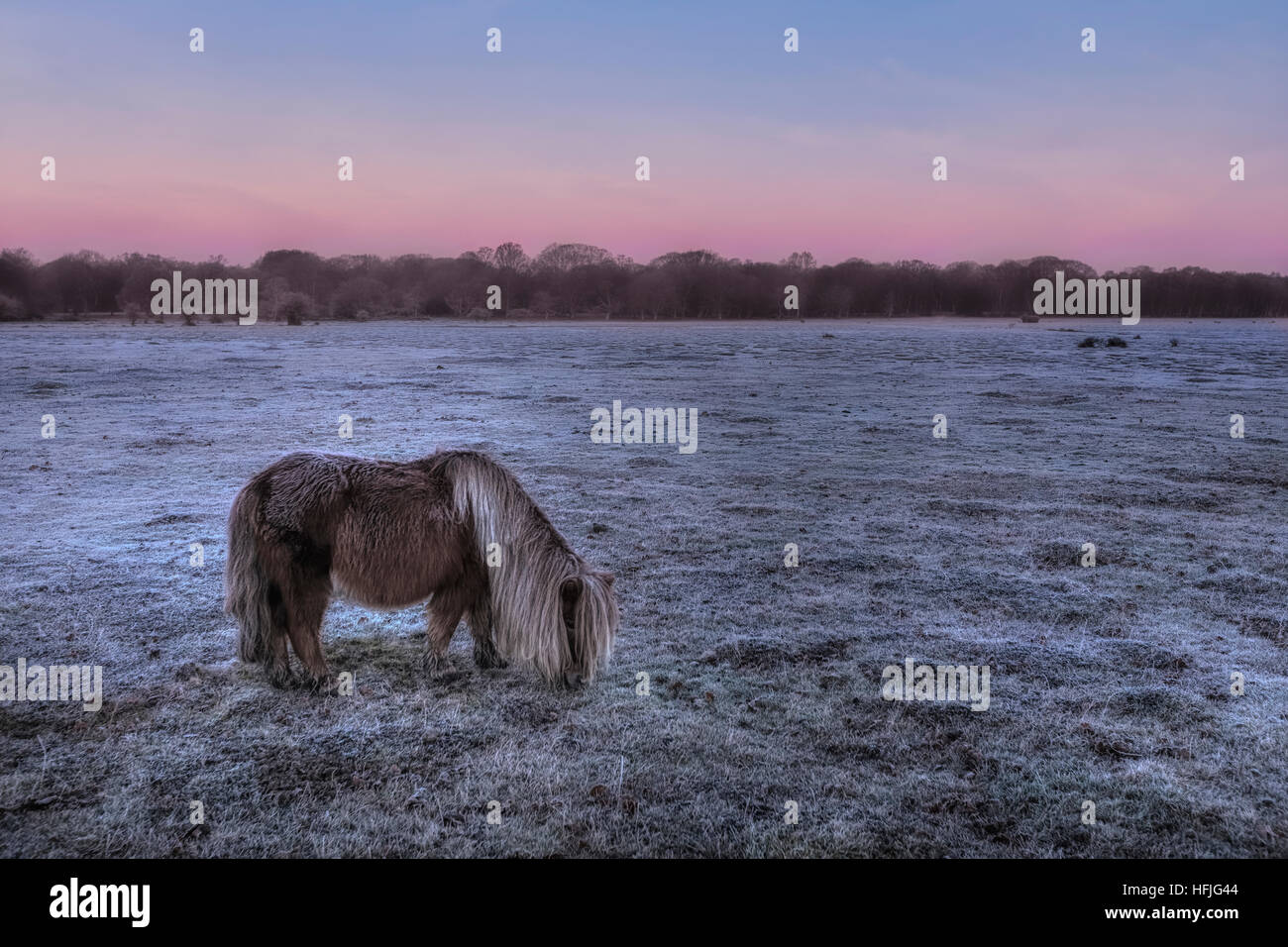 Balmer Lawn with wild roaming pony in sunrise, Brockenhurst, New Forest, Hampshire, England, UK - Stock Image
