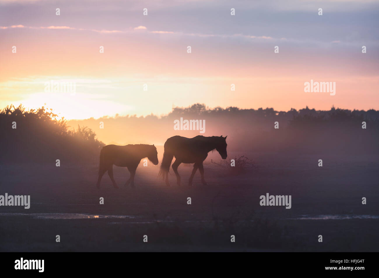 wild New Forest ponies in the sunrise in Ocknell, New Forest, Lyndhurst, Hampshire, England, UK - Stock Image