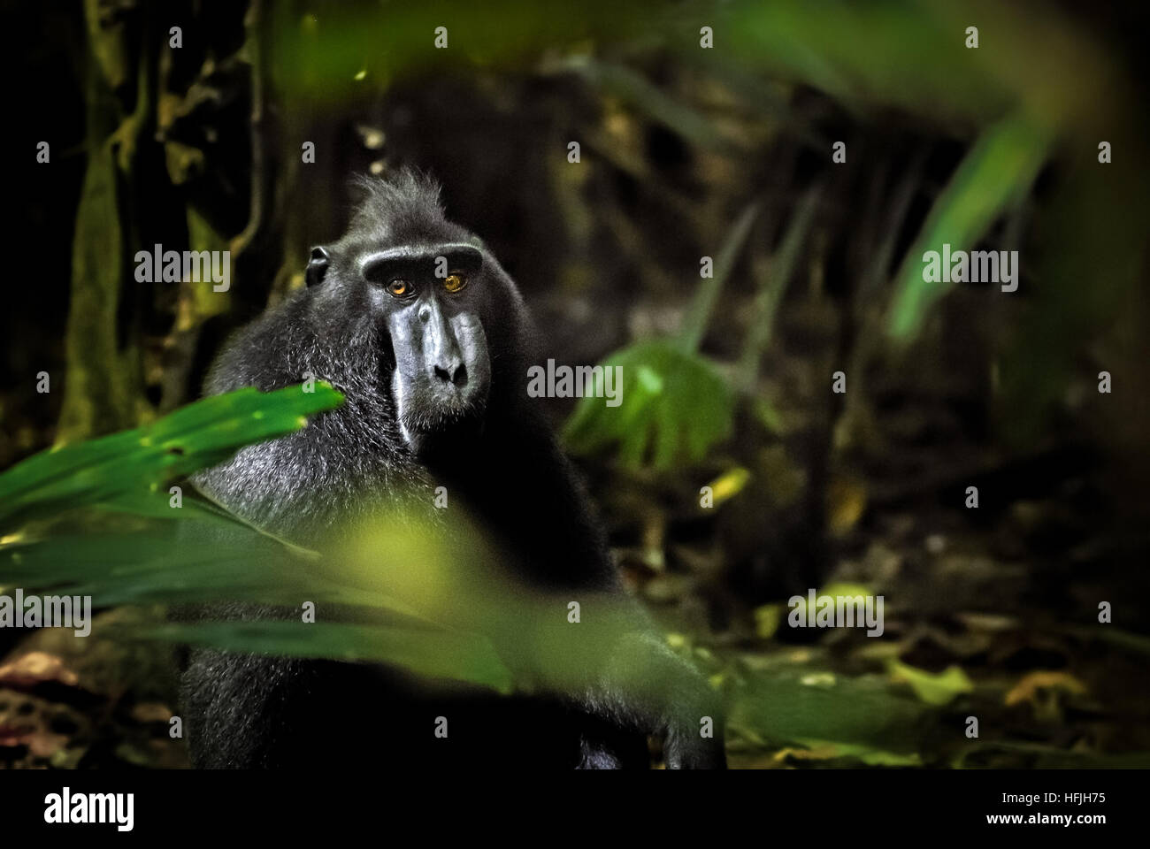 Portrait of a celebes black-crested macaque in Tangkoko Nature Reserve. © Reynold Sumayku - Stock Image