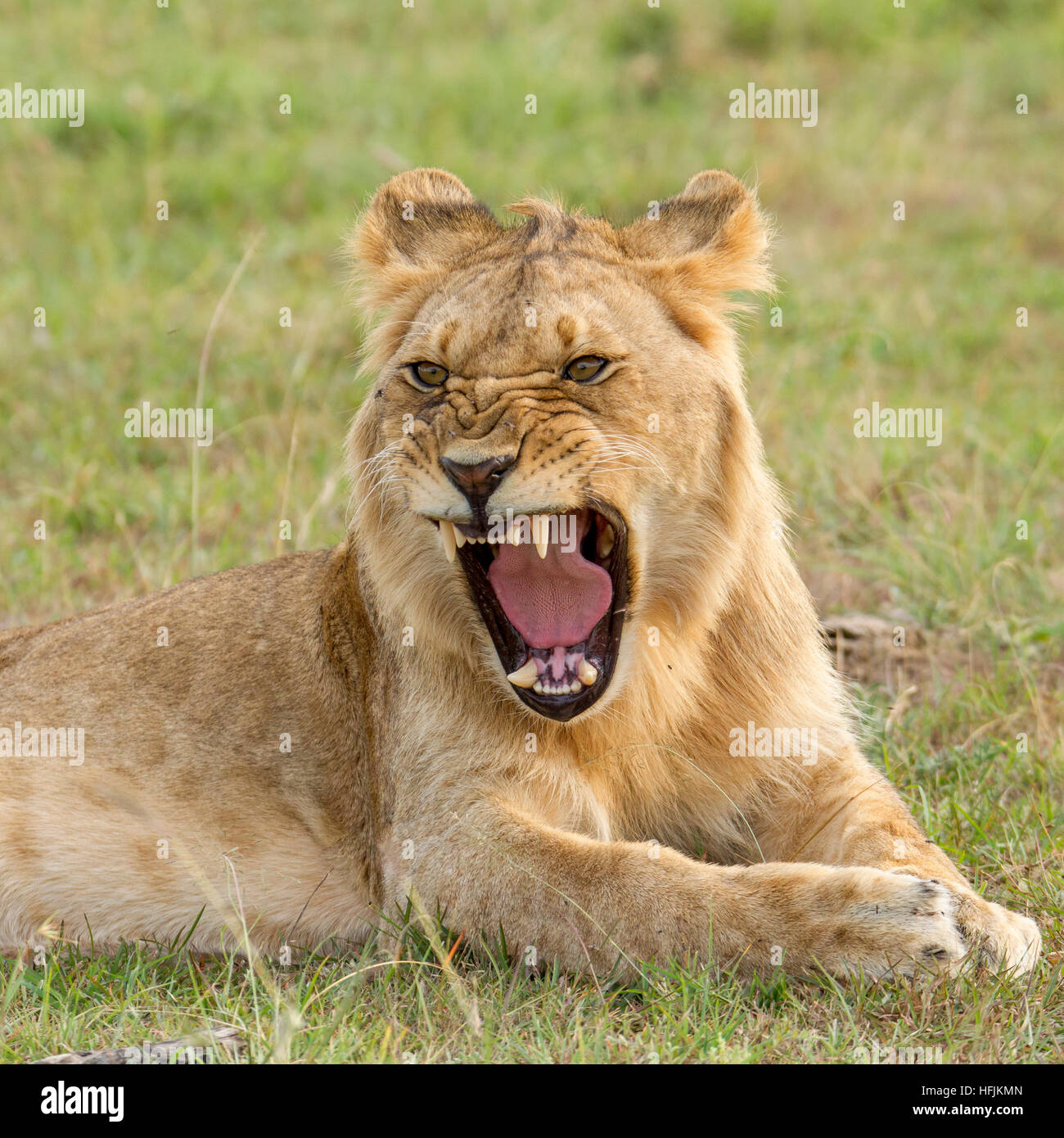 young male lion snarling, closer, Mara Naboisho Conservancy Kenya Africa - Stock Image