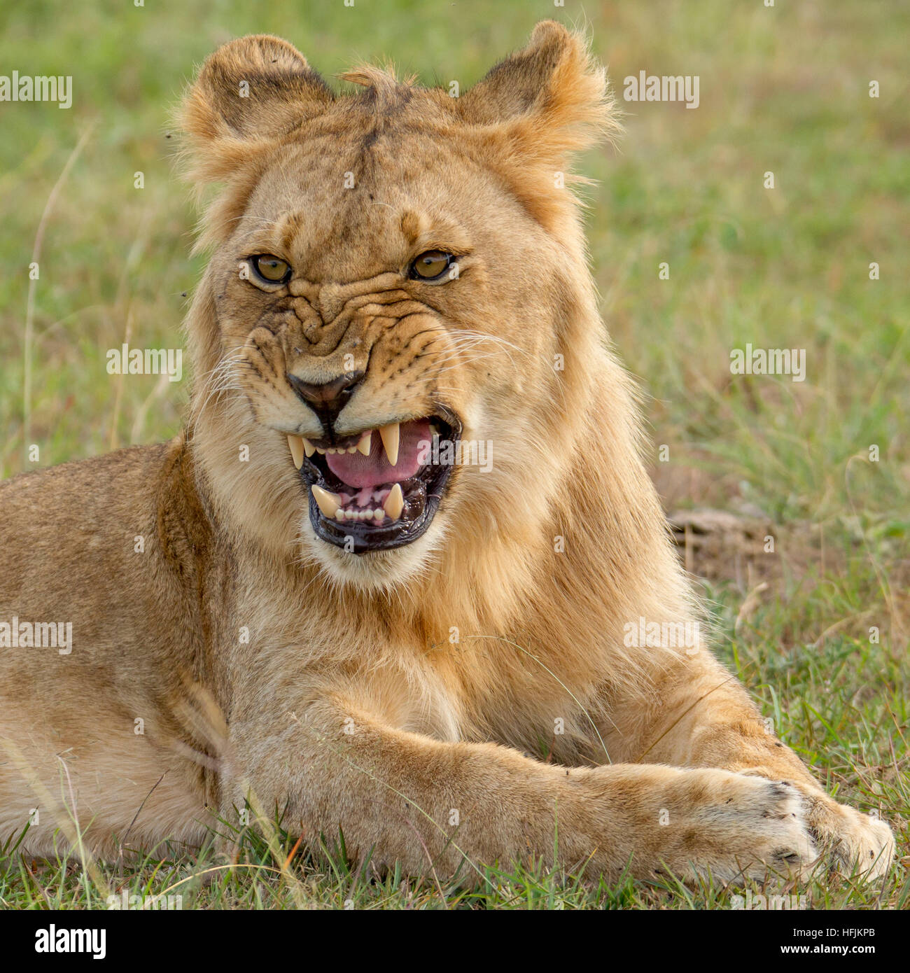 young male lion snarling, close, Mara Naboisho Conservancy Kenya Africa - Stock Image