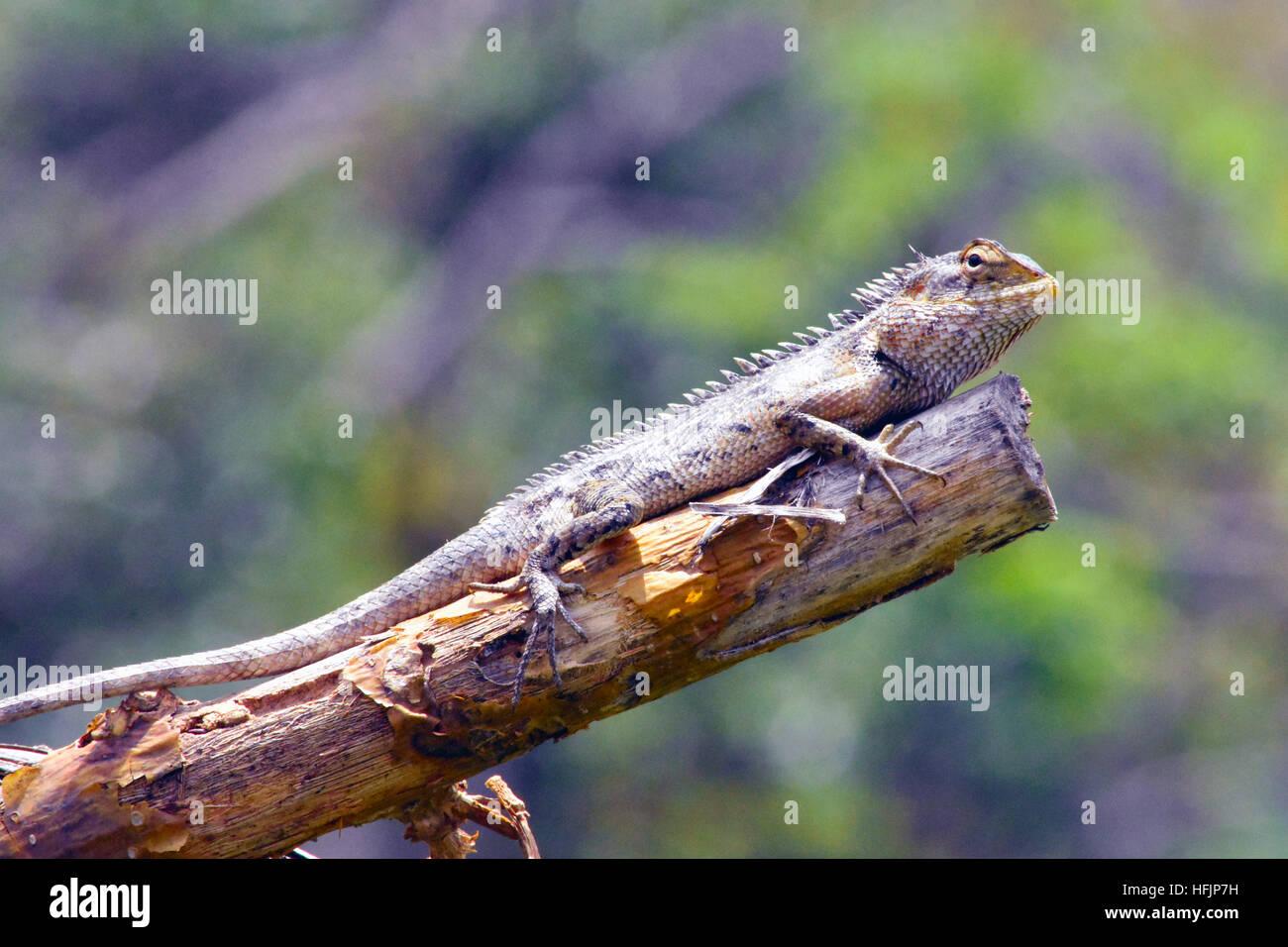Chameleon - Stock Image