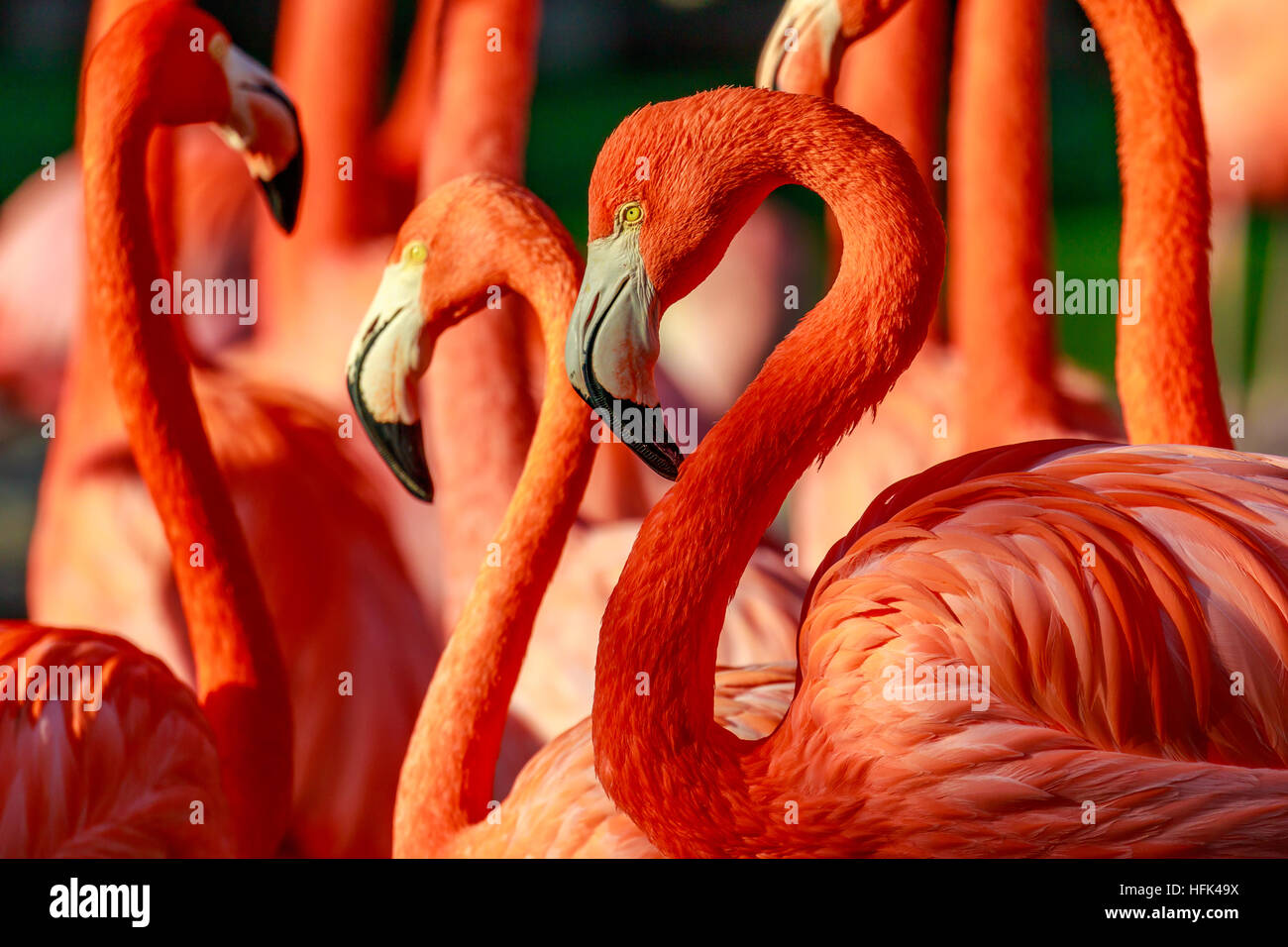 Close-up of a group of red flamingos. - Stock Image