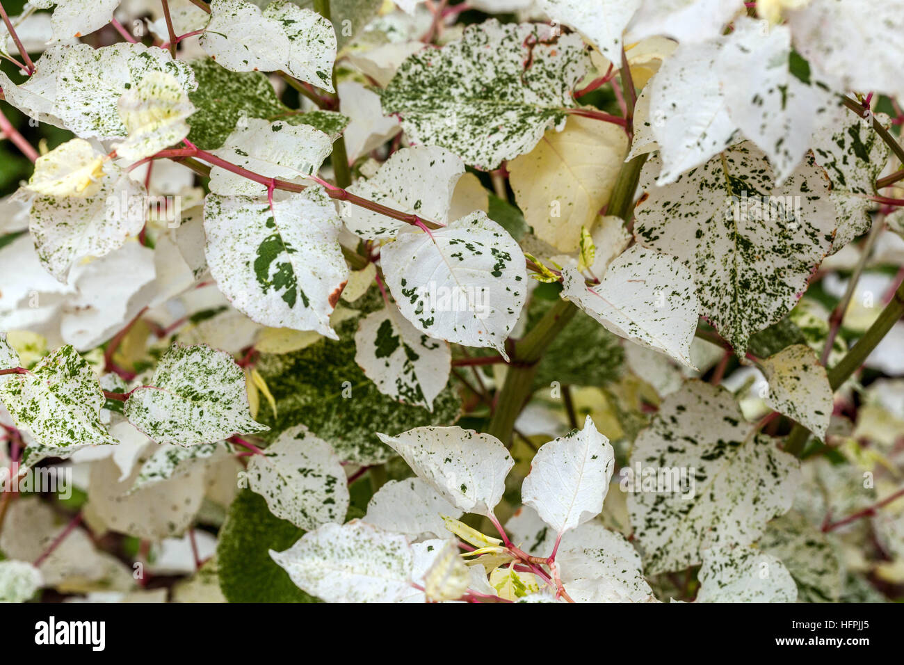 Fallopia japonica 'Variegata' with marbled effect of leaves - Stock Image