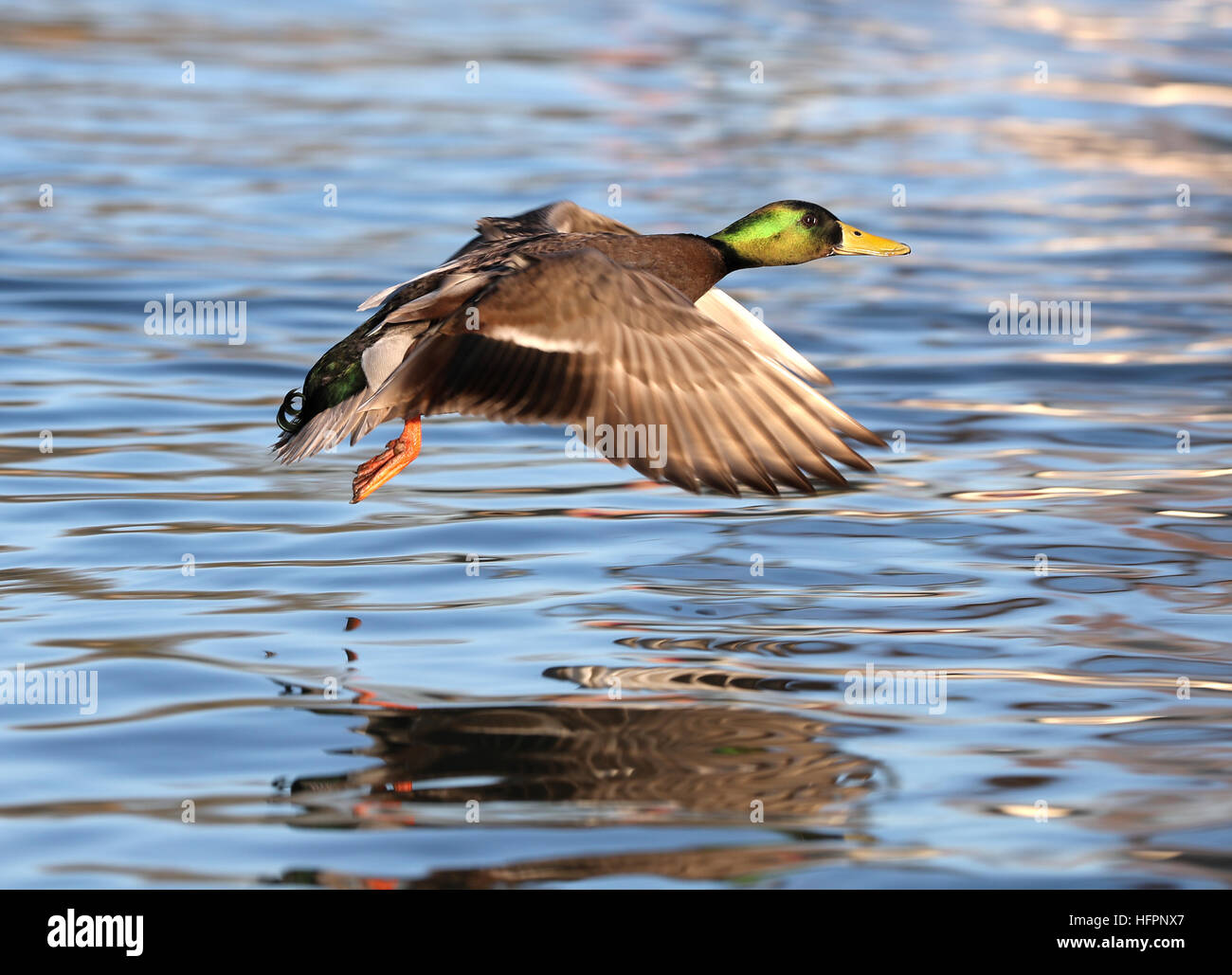 Close up of a male Mallard Duck flying along a river - Stock Image